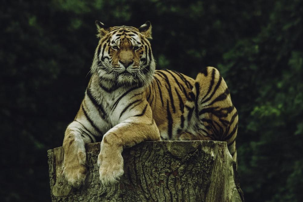 tiger on wood slab