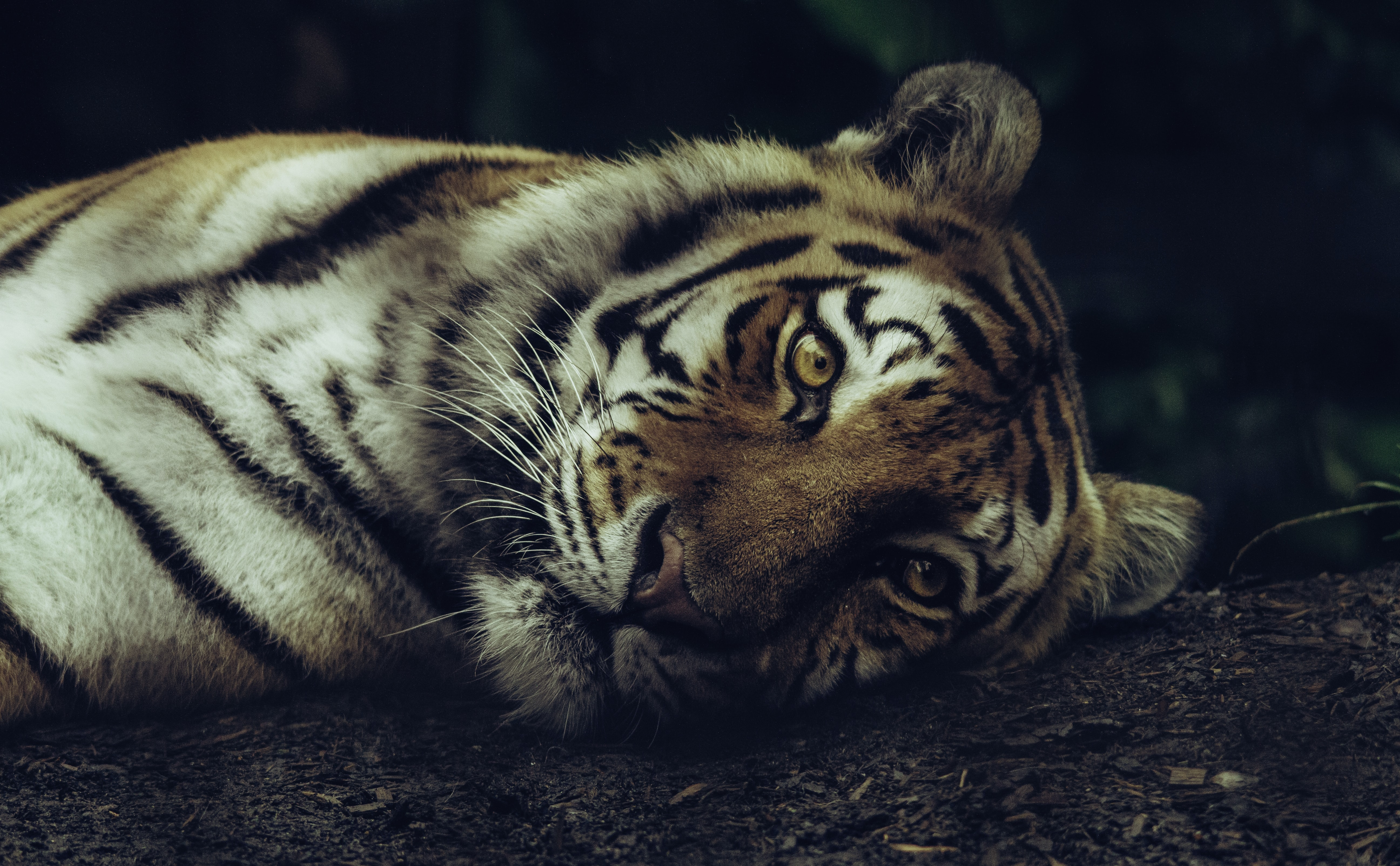 selective focus of tiger laying on ground
