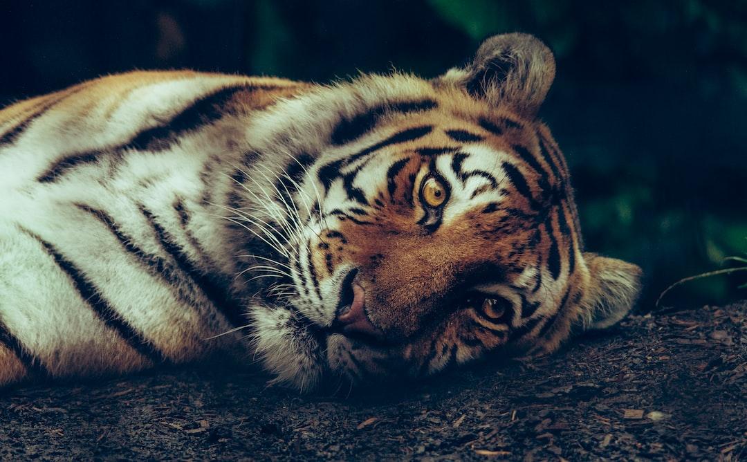 Luna, the siberian tiger