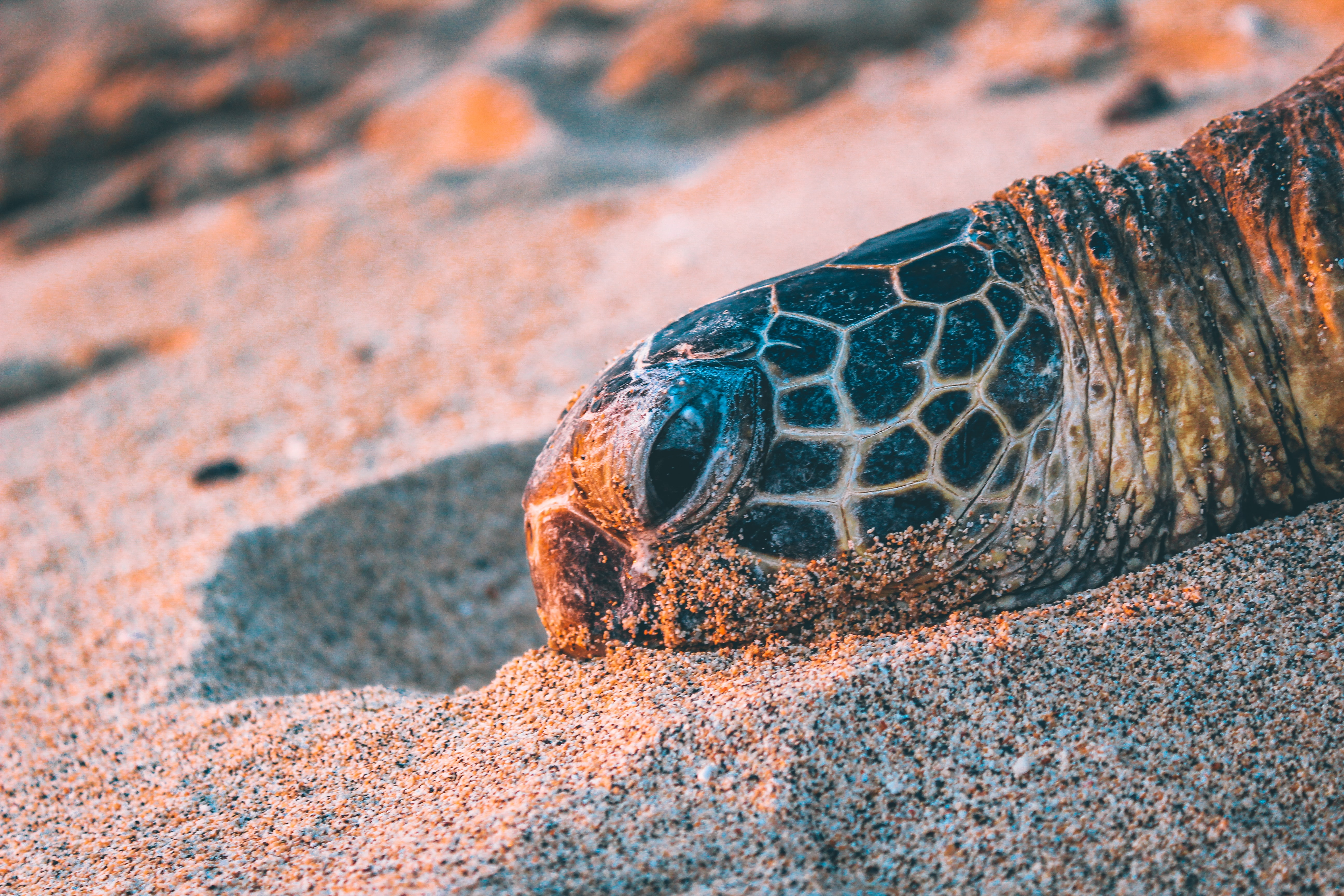 Turtle's head resting on the beach sand