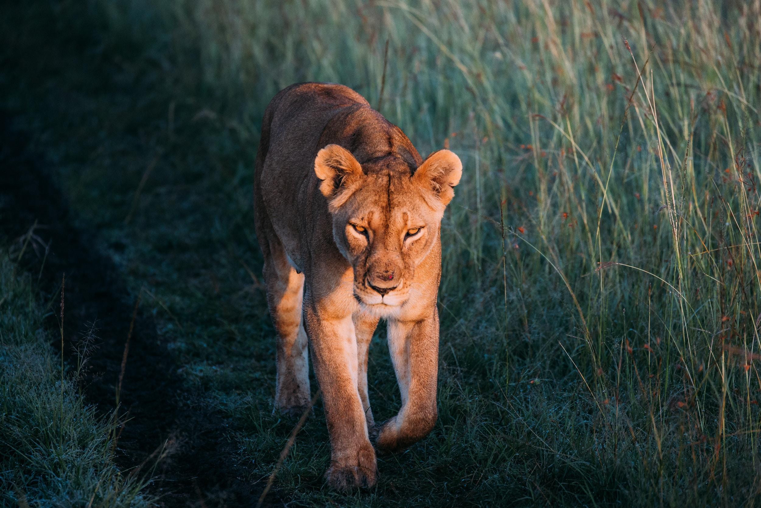 tiger on green grassland during daytime