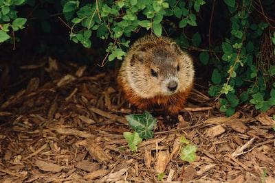 brown beaver walking near trees groundhog teams background