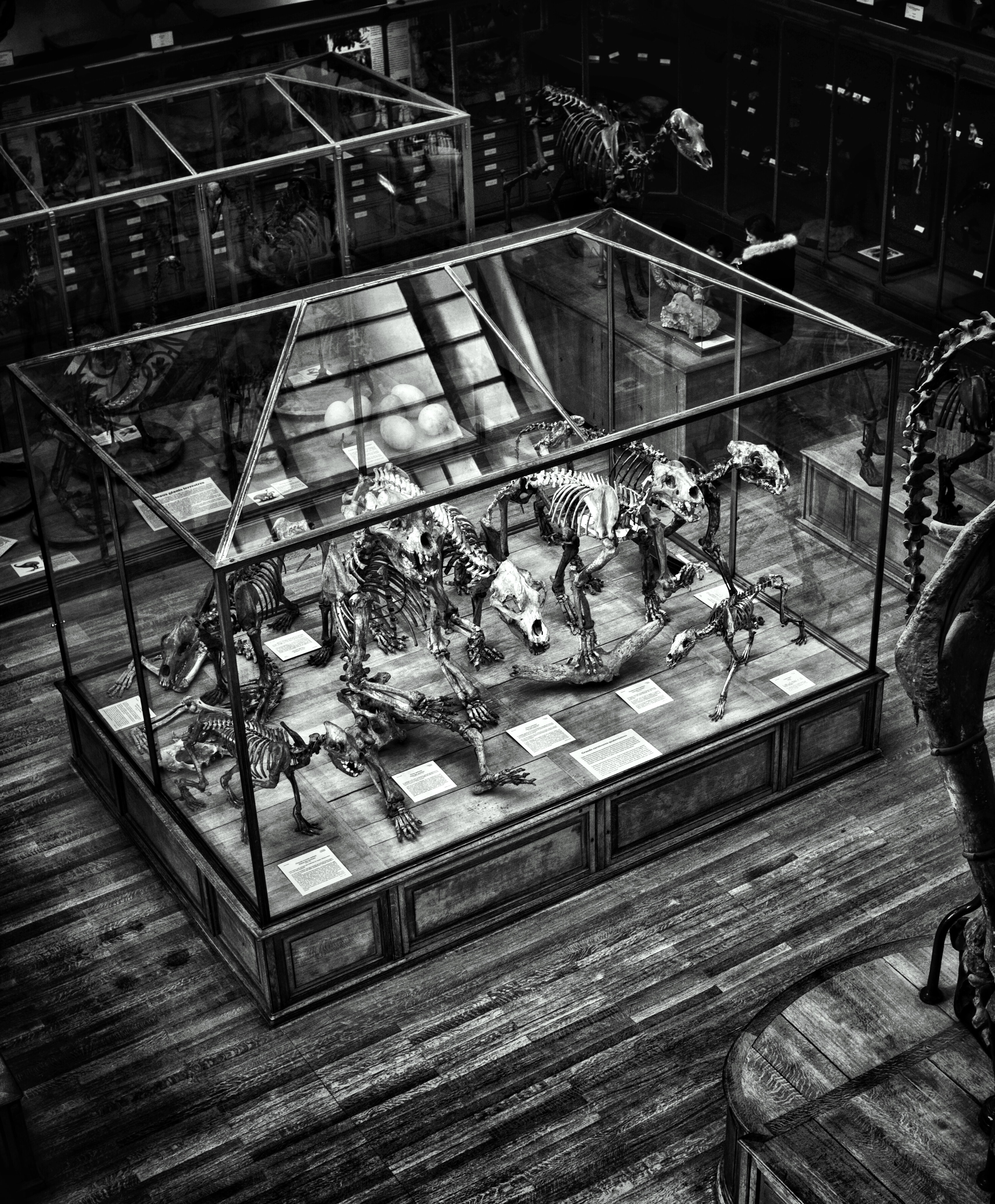 A black-and-white shot of dinosaur skeletons in a museum