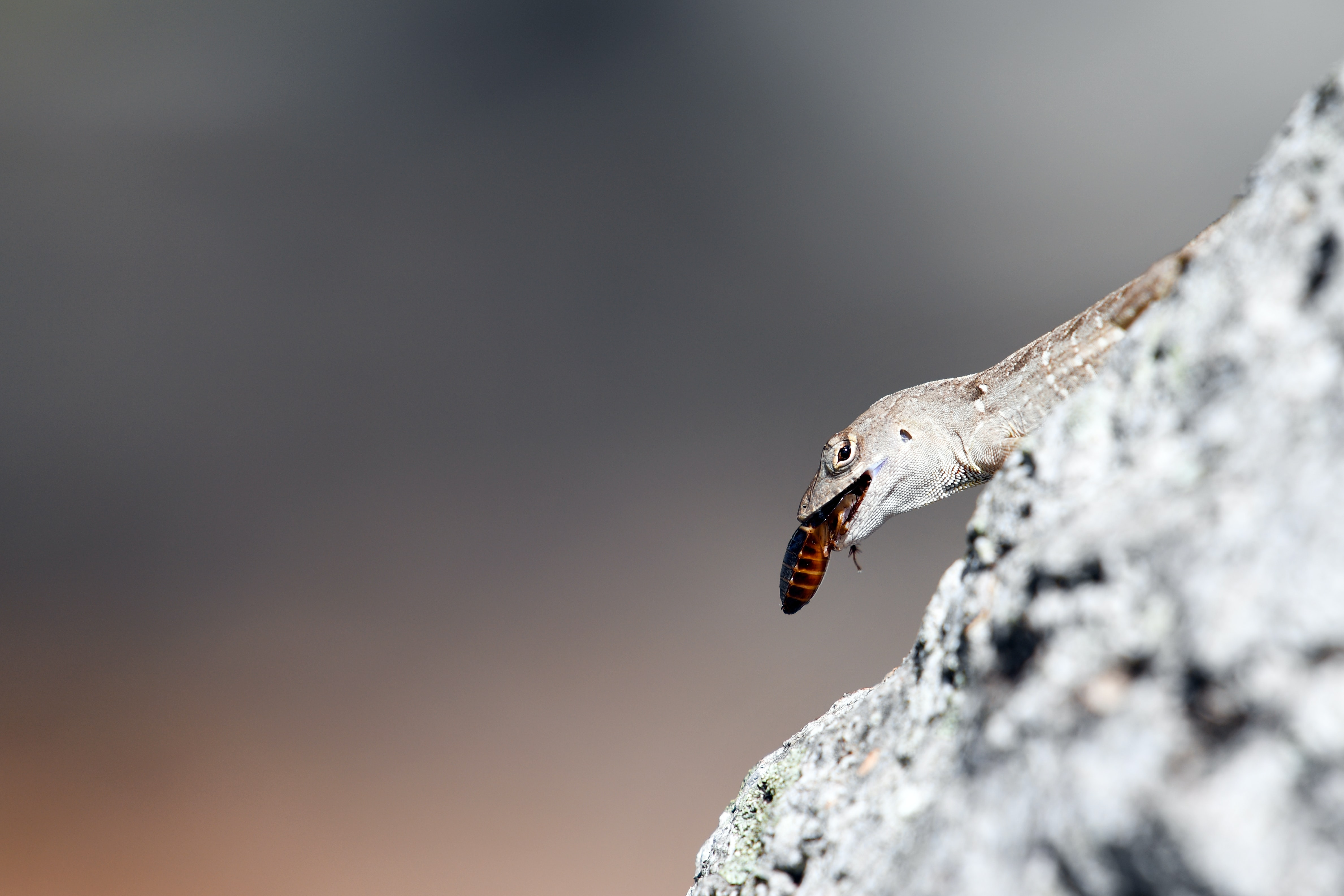 Hungry lizard eats an insect while standing on a rock