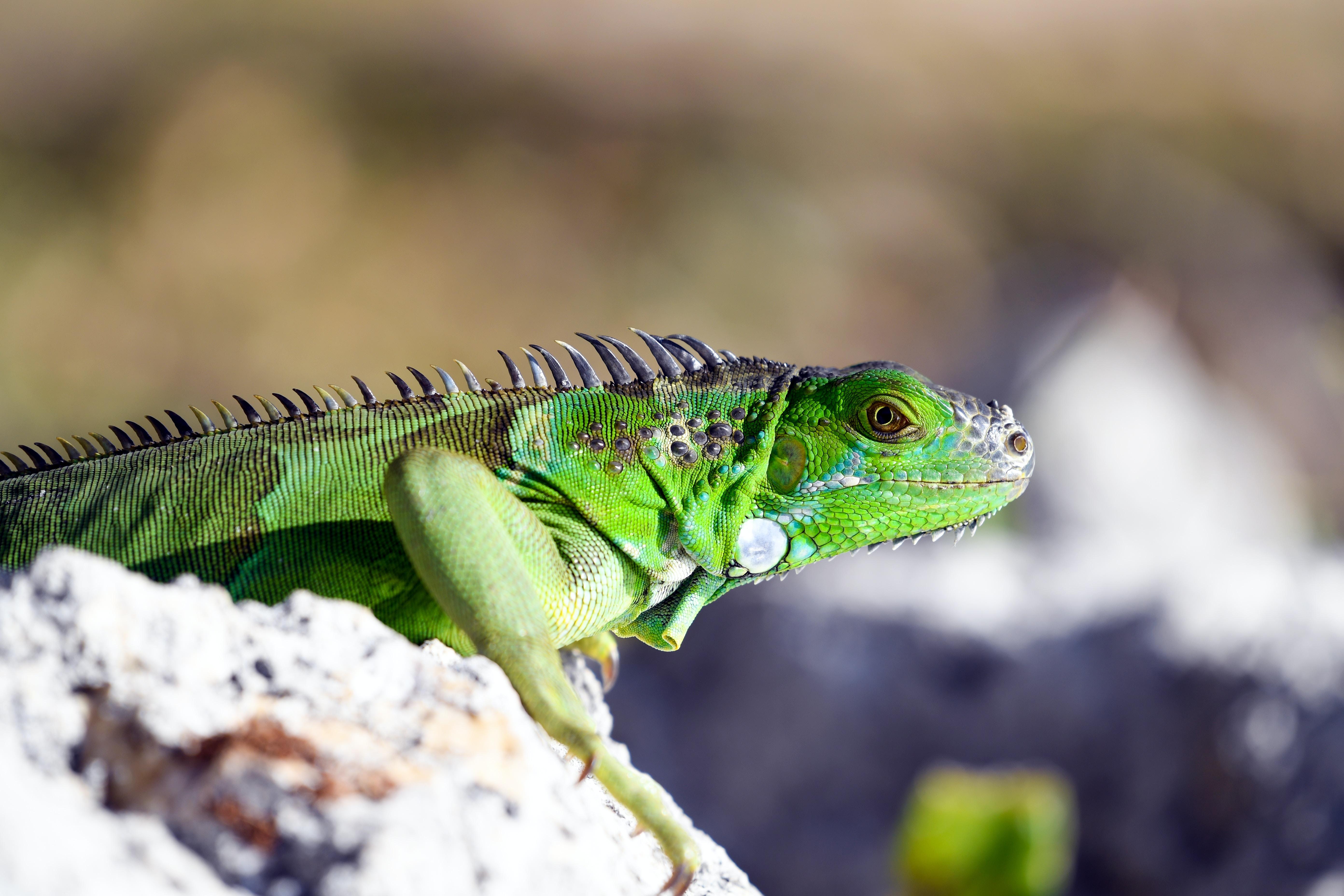 Green lizard sun bathing on a rock