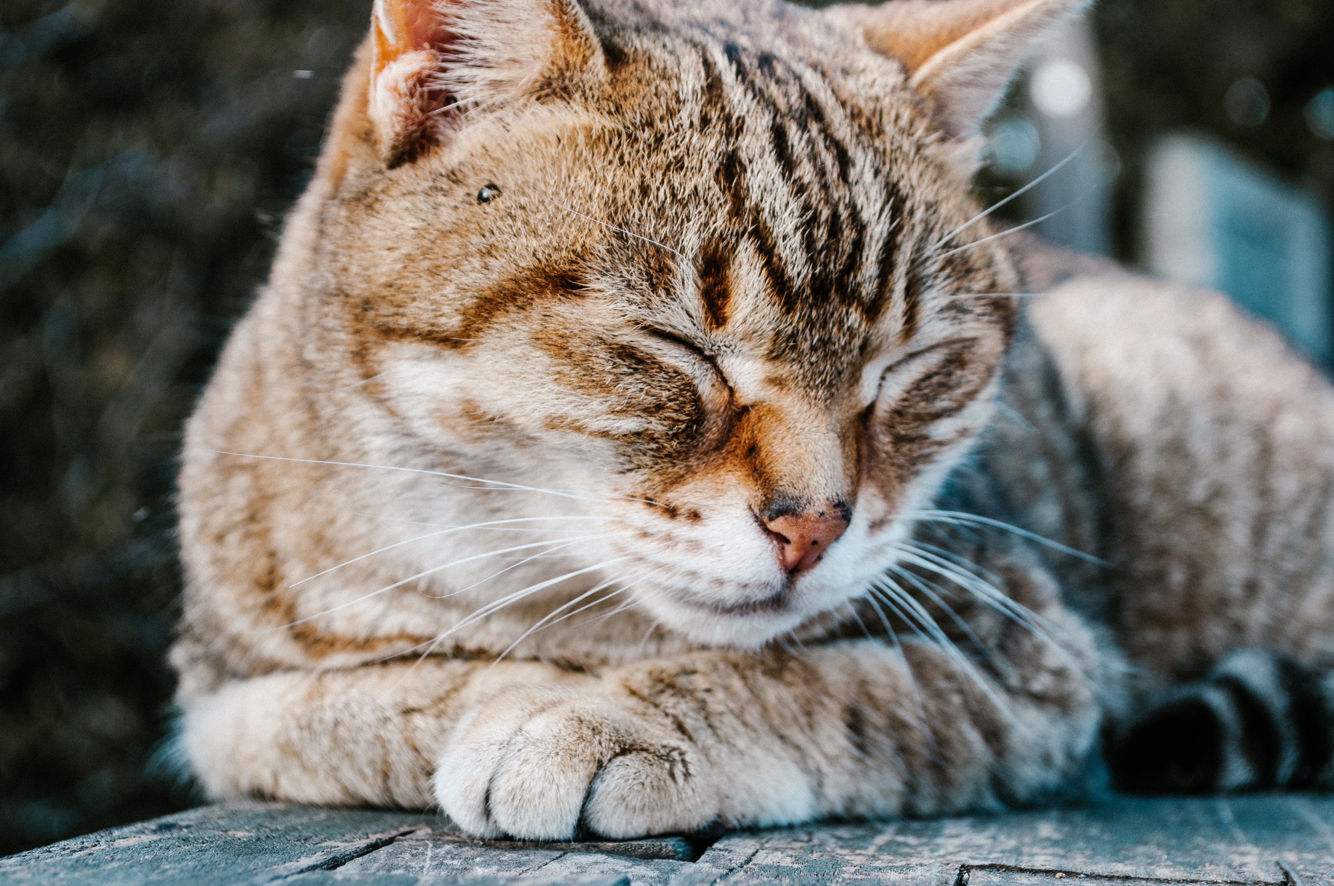 gray tabby cat lying on wood surface