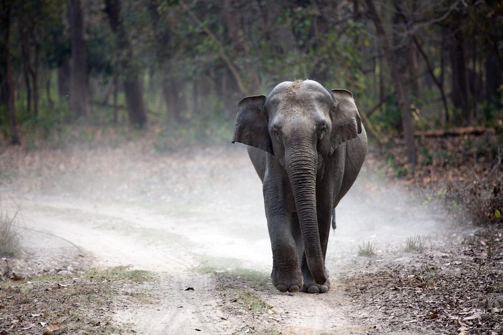 gray elephant cub walking alone on pathway creating dust