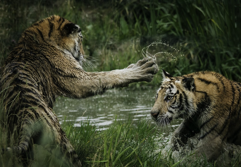tigers fighting on swamp