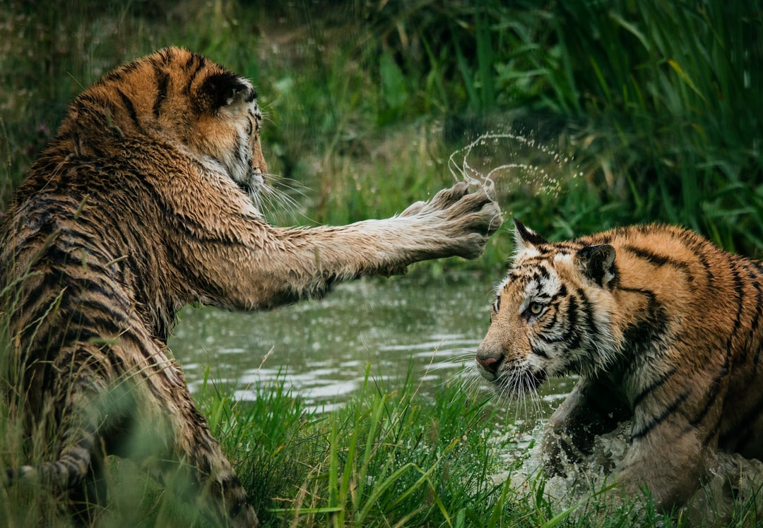 """Tiger cubs playing in the water"""