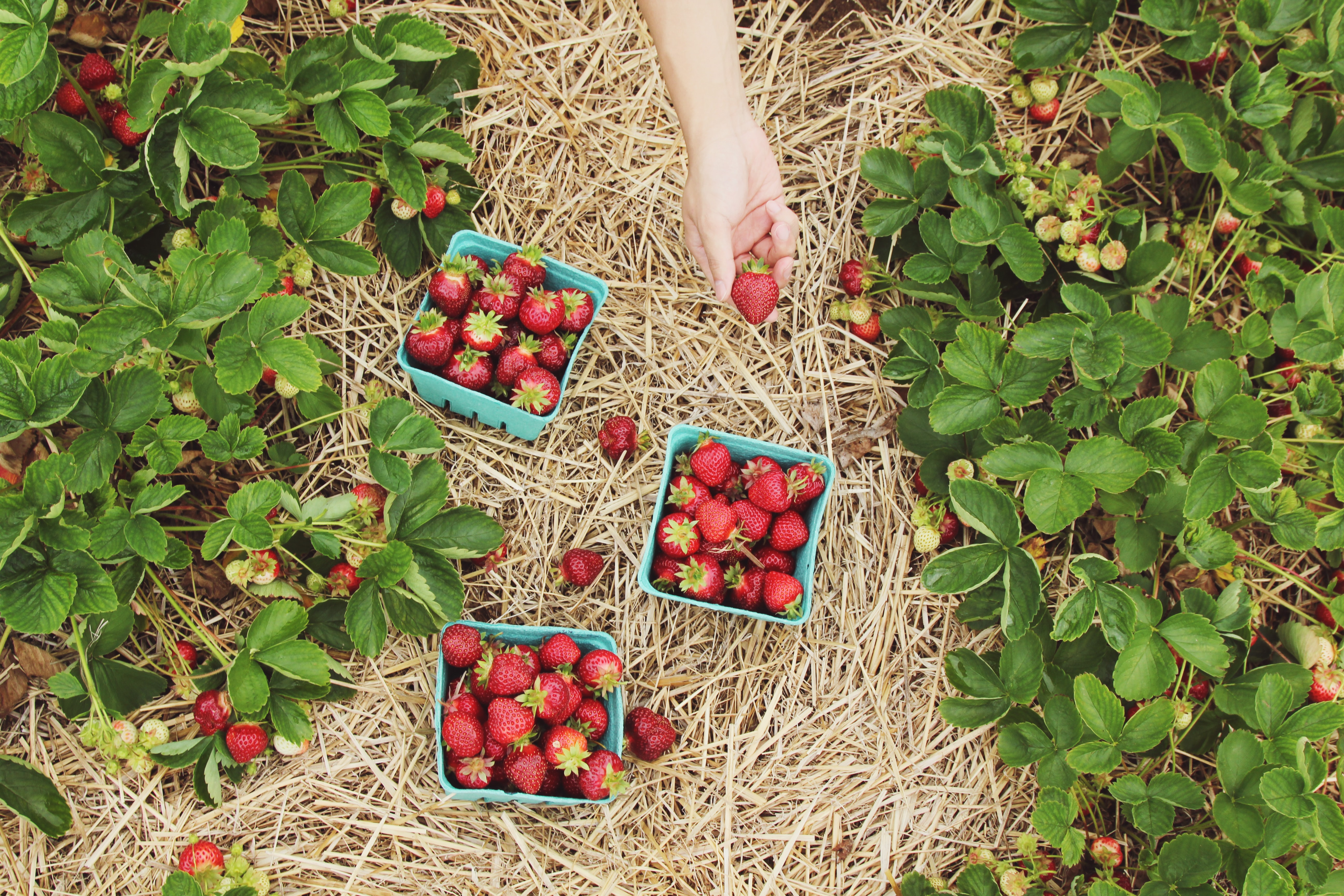 strawberries in blue baskets