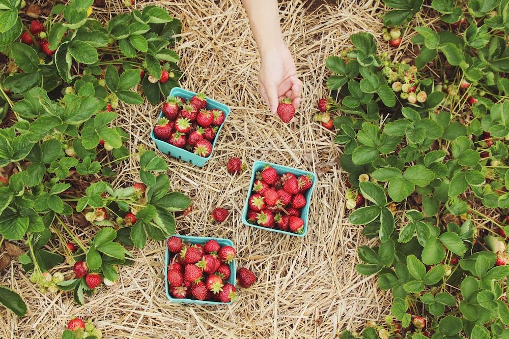strawberries in blue baskets