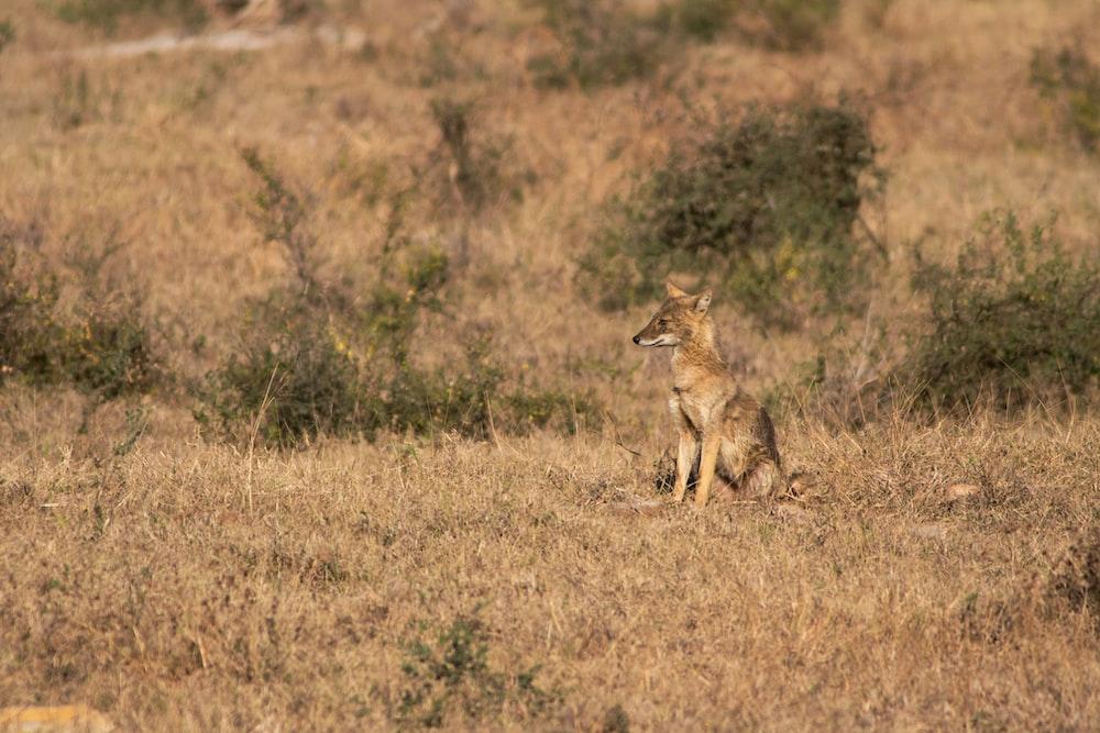 brown fox on brown grass
