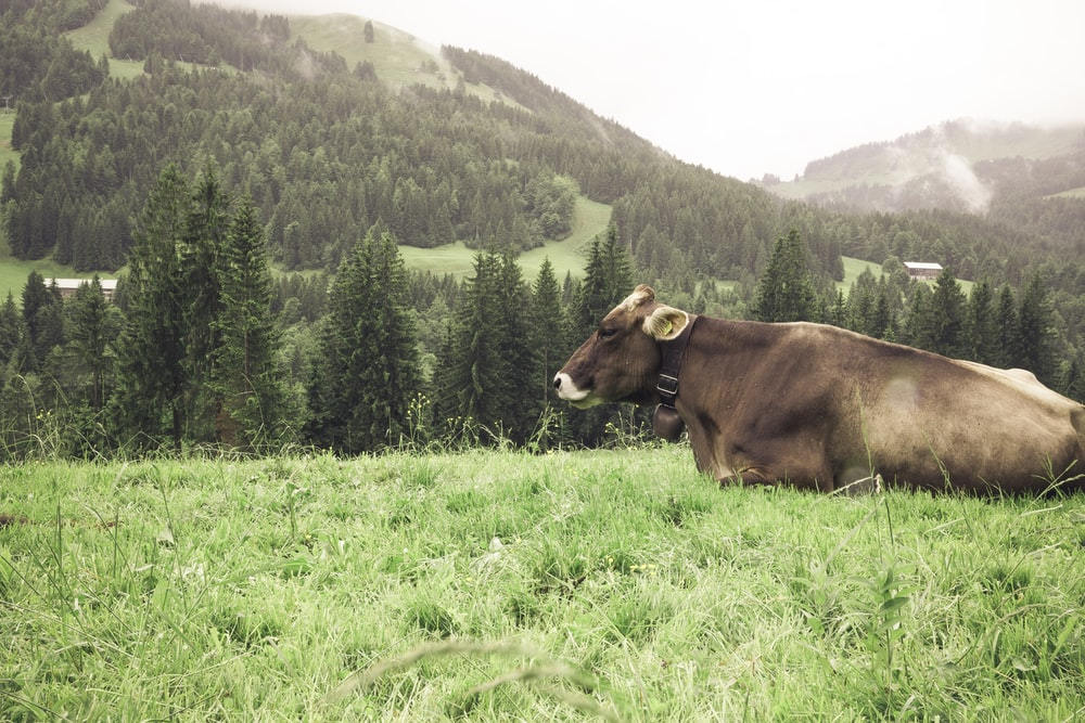 brown cattle on green grass