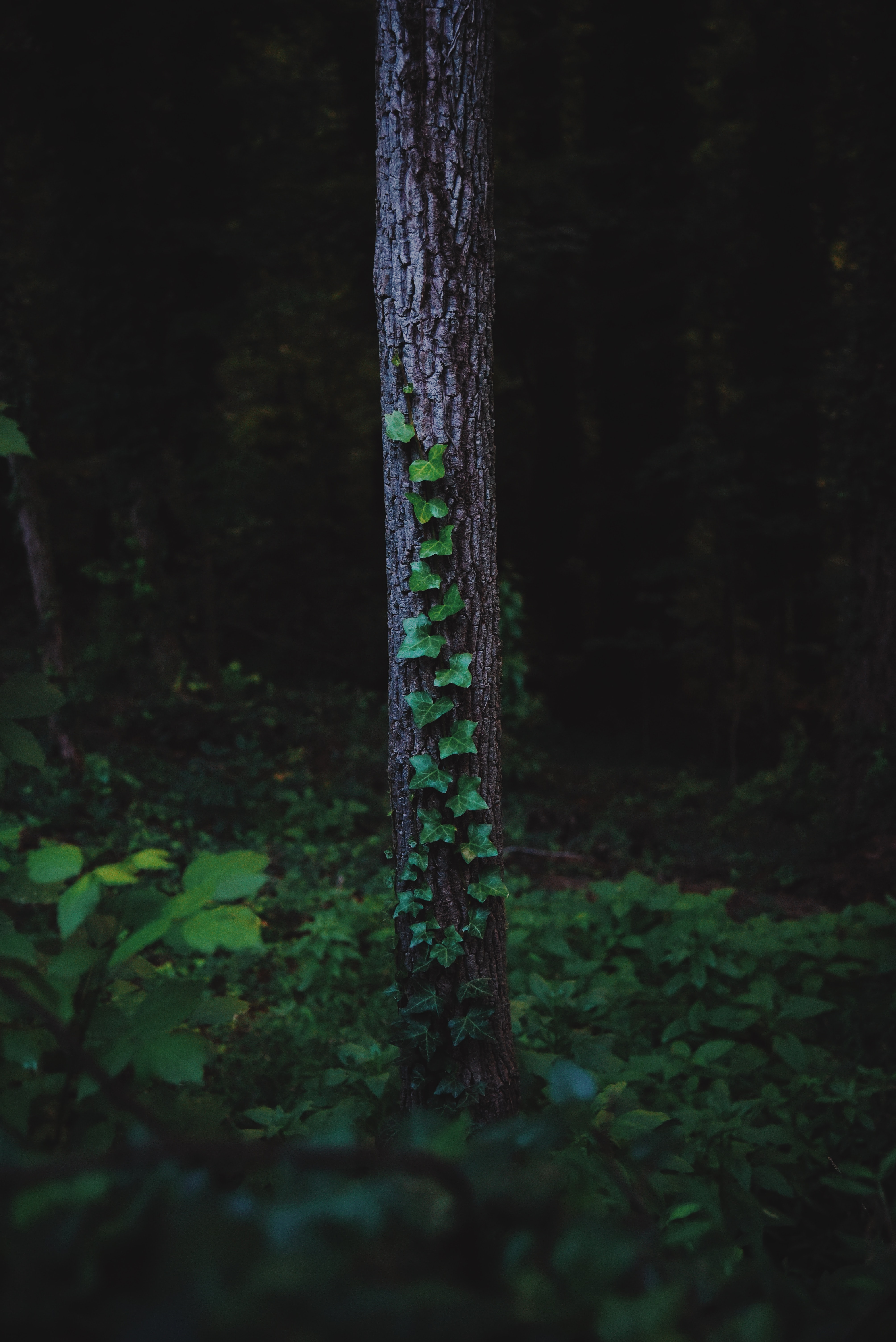 Vine growing on the trunk of a tree in a forest