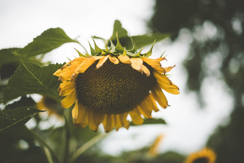 yellow sunflower on closeup photography
