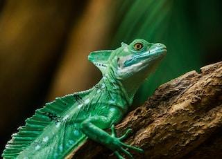 iguana on brown branch