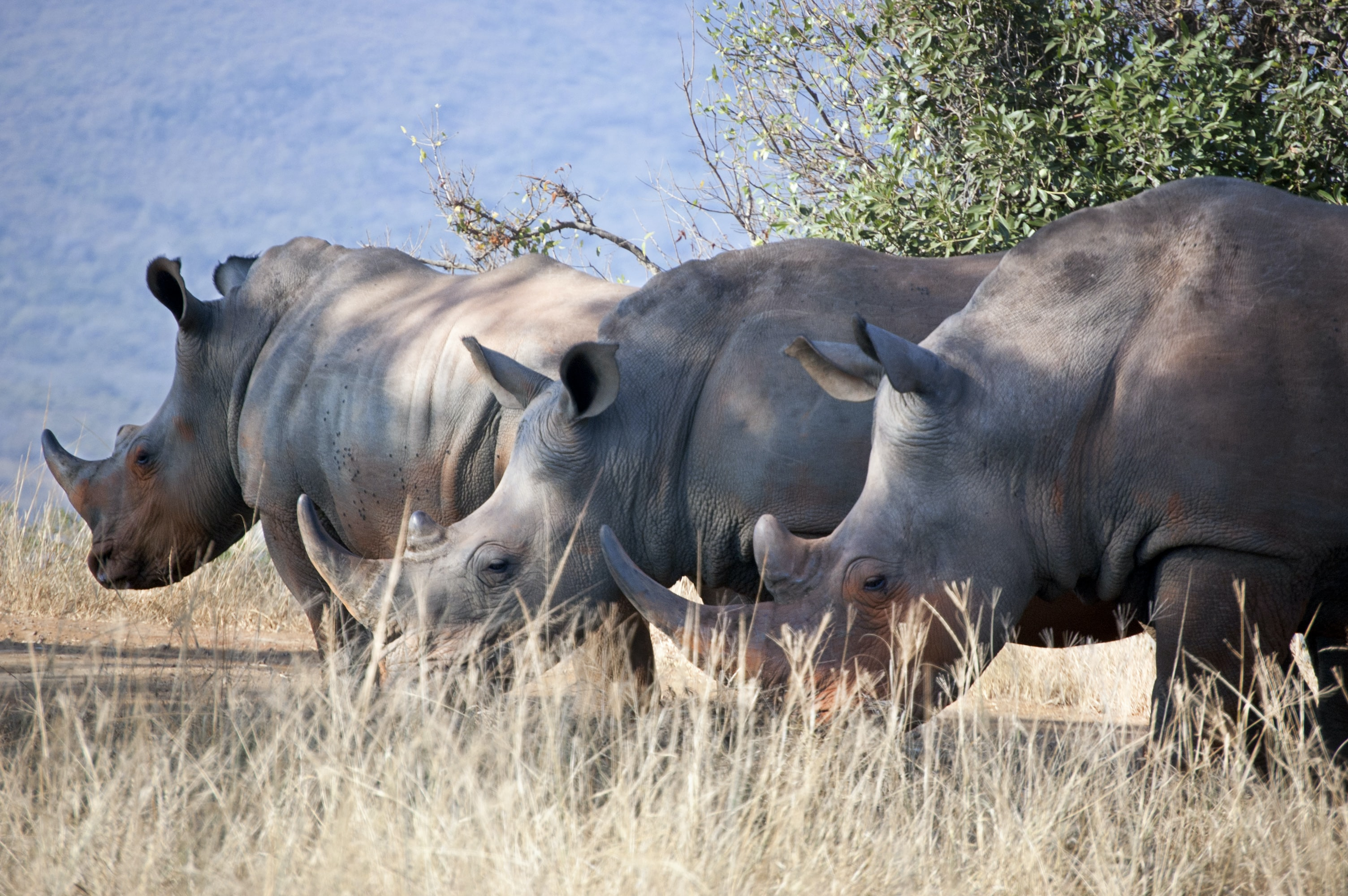 three rhino eating grass