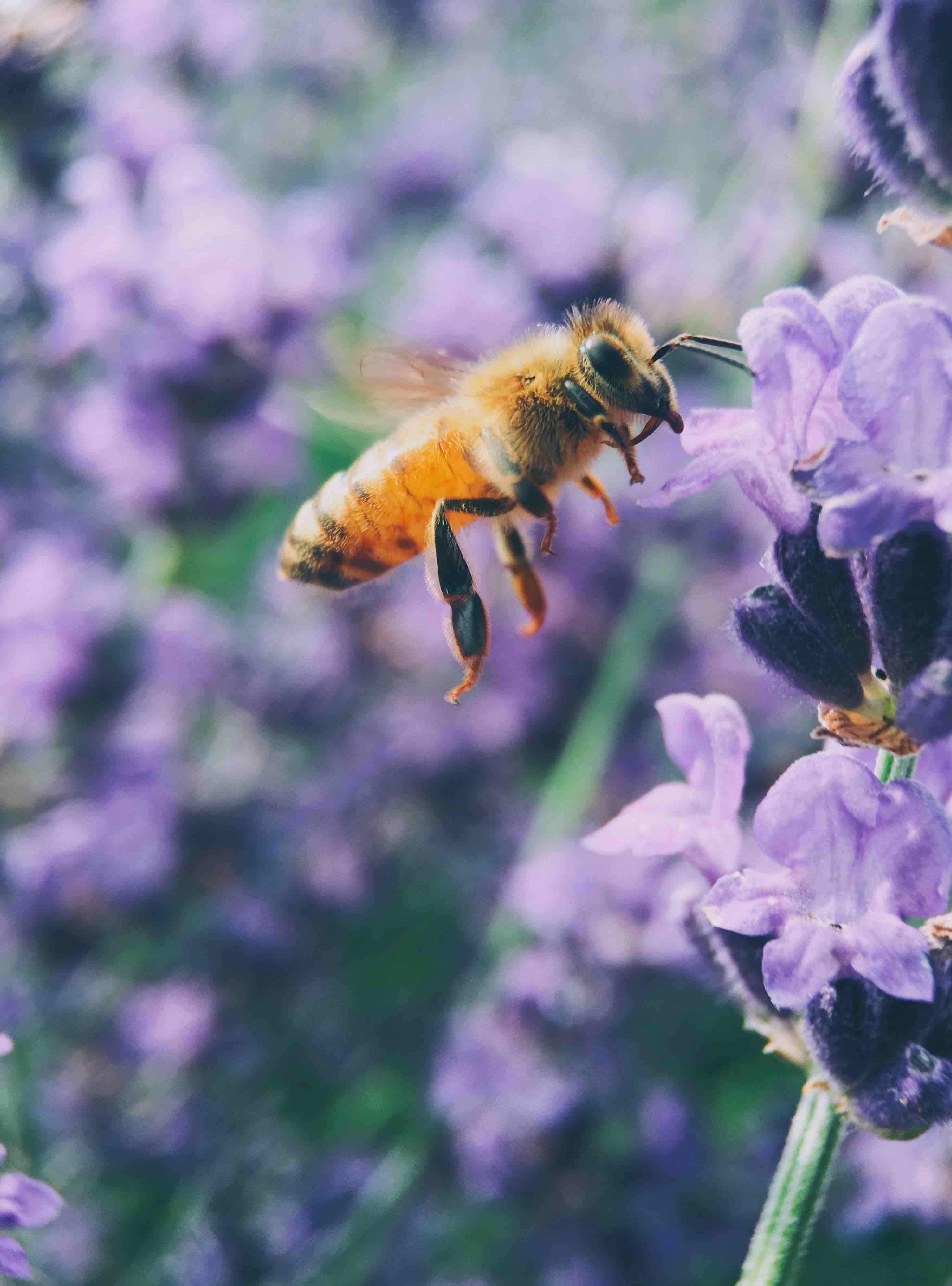 Bee pollinates a purple wild flower midflight