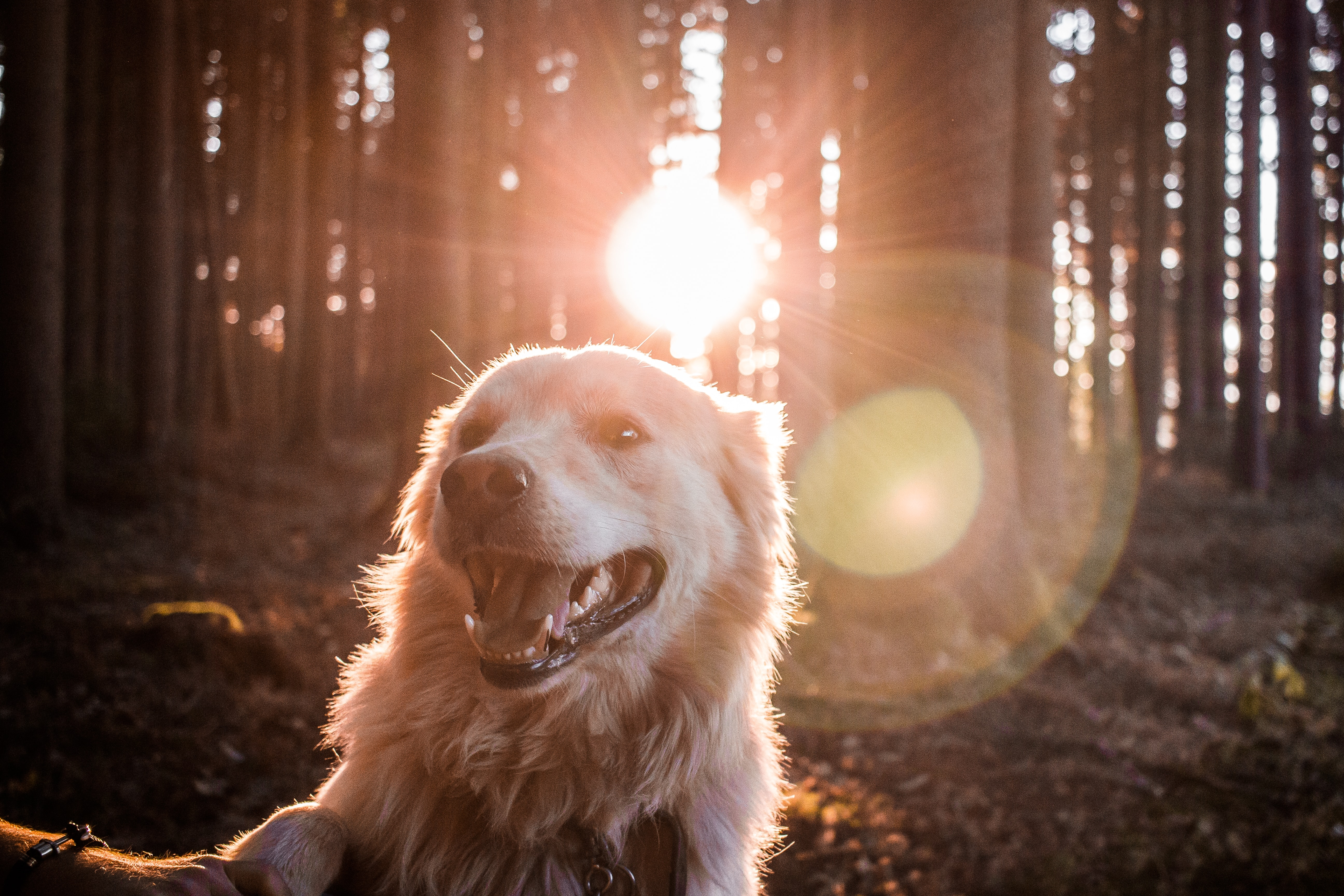 A painting golden retriever in a forest during sunset