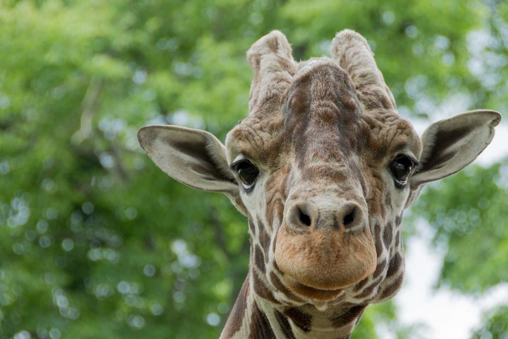 closeup photography of giraffe during daytime