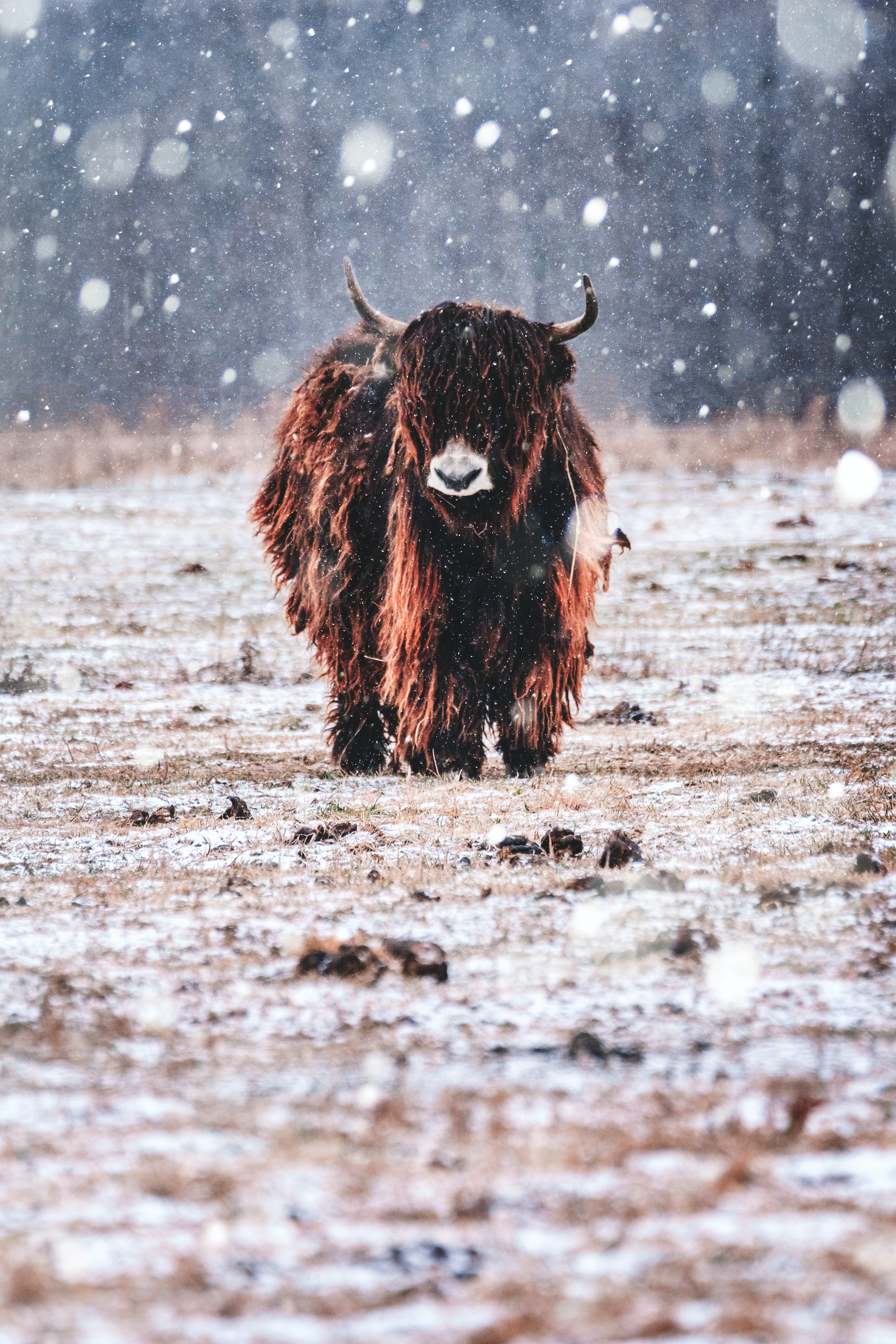 A bison walking in the snow towards you.