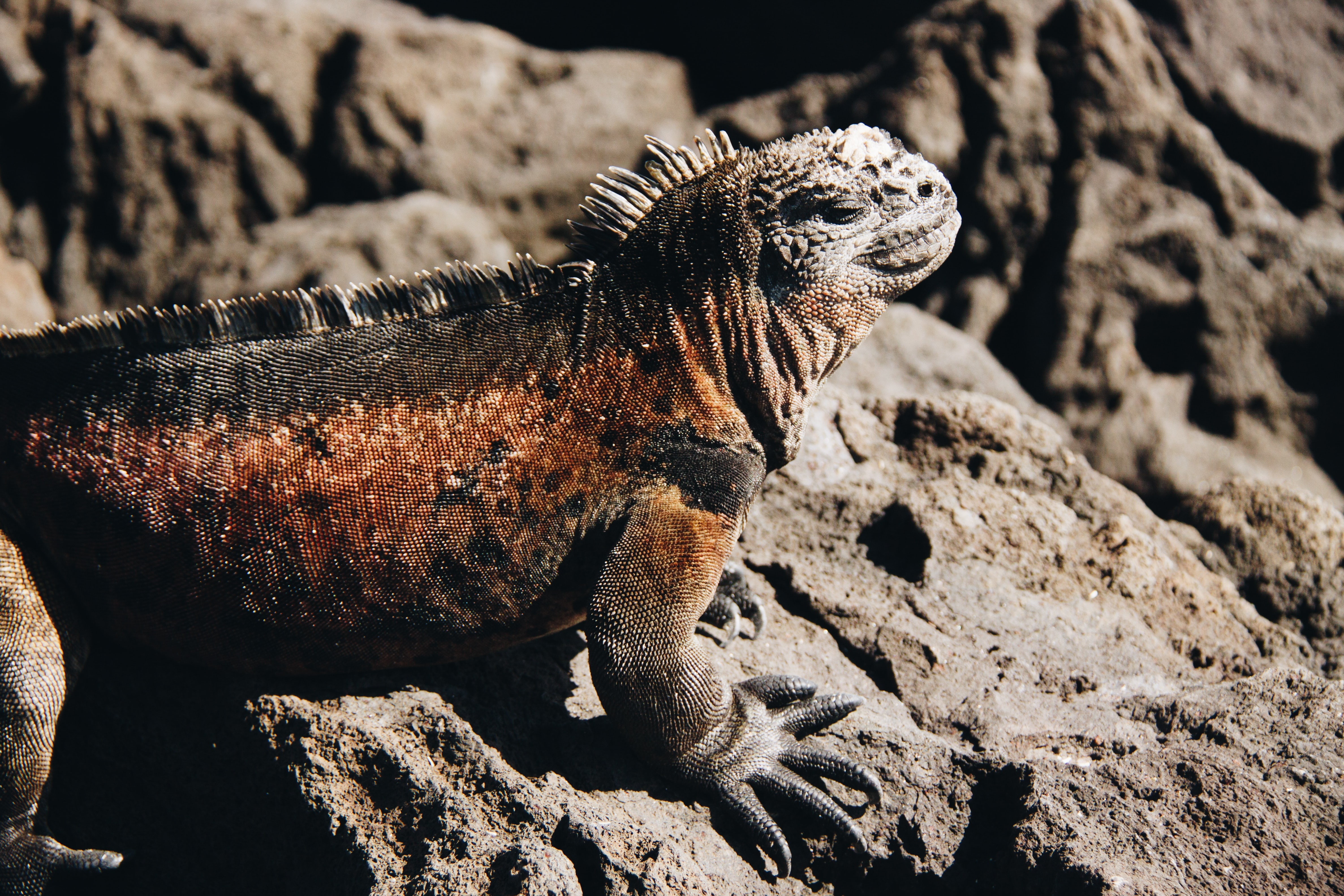 brown and black bearded dragon on rock formation