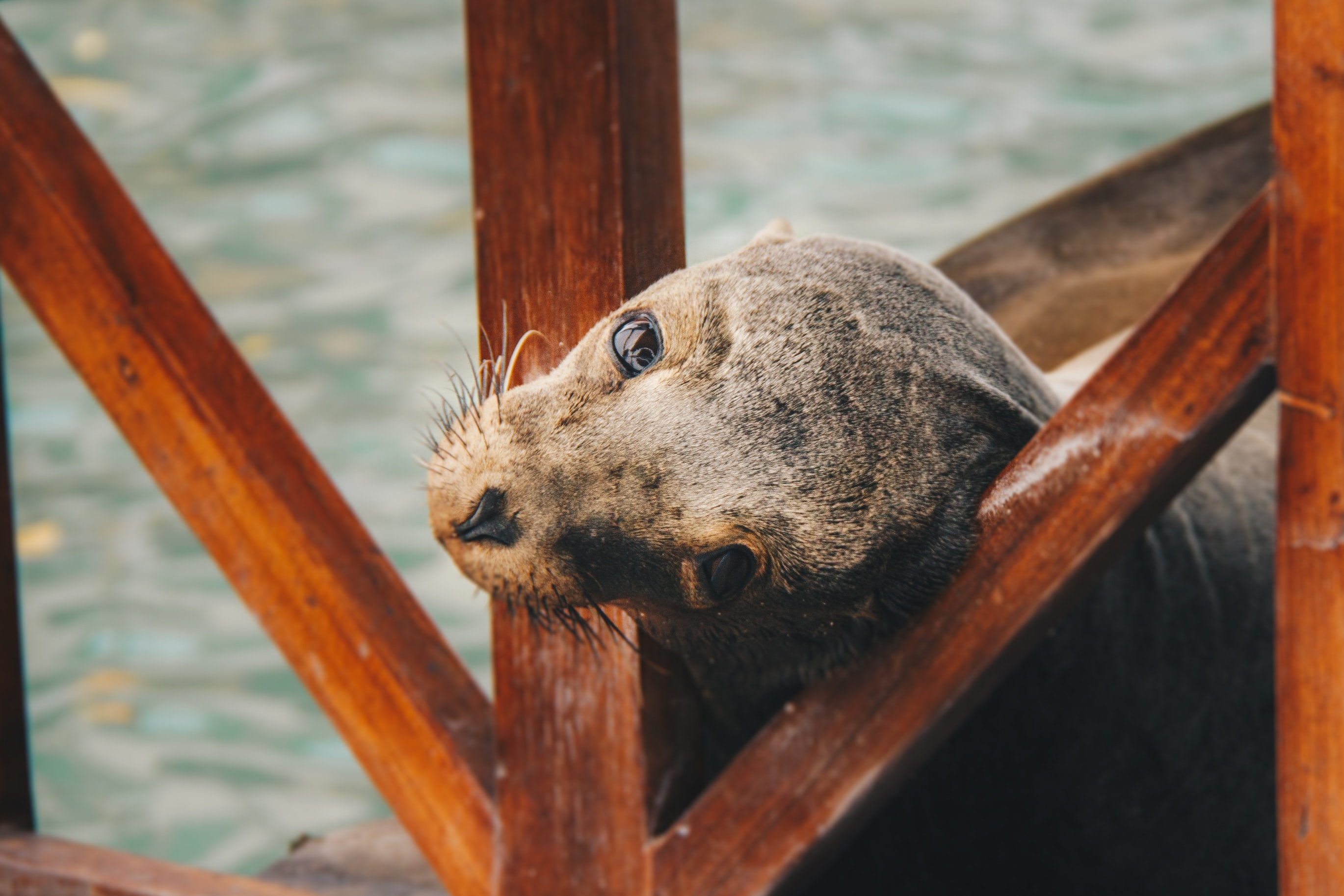 A seal looking at the camera with its head between wooden beams