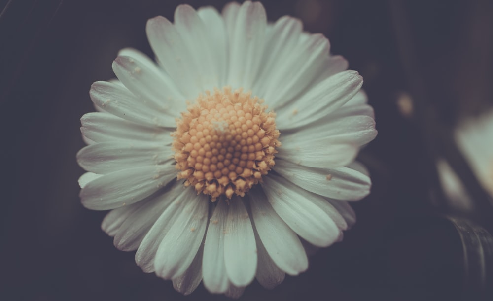 close up photo of white daisy flower