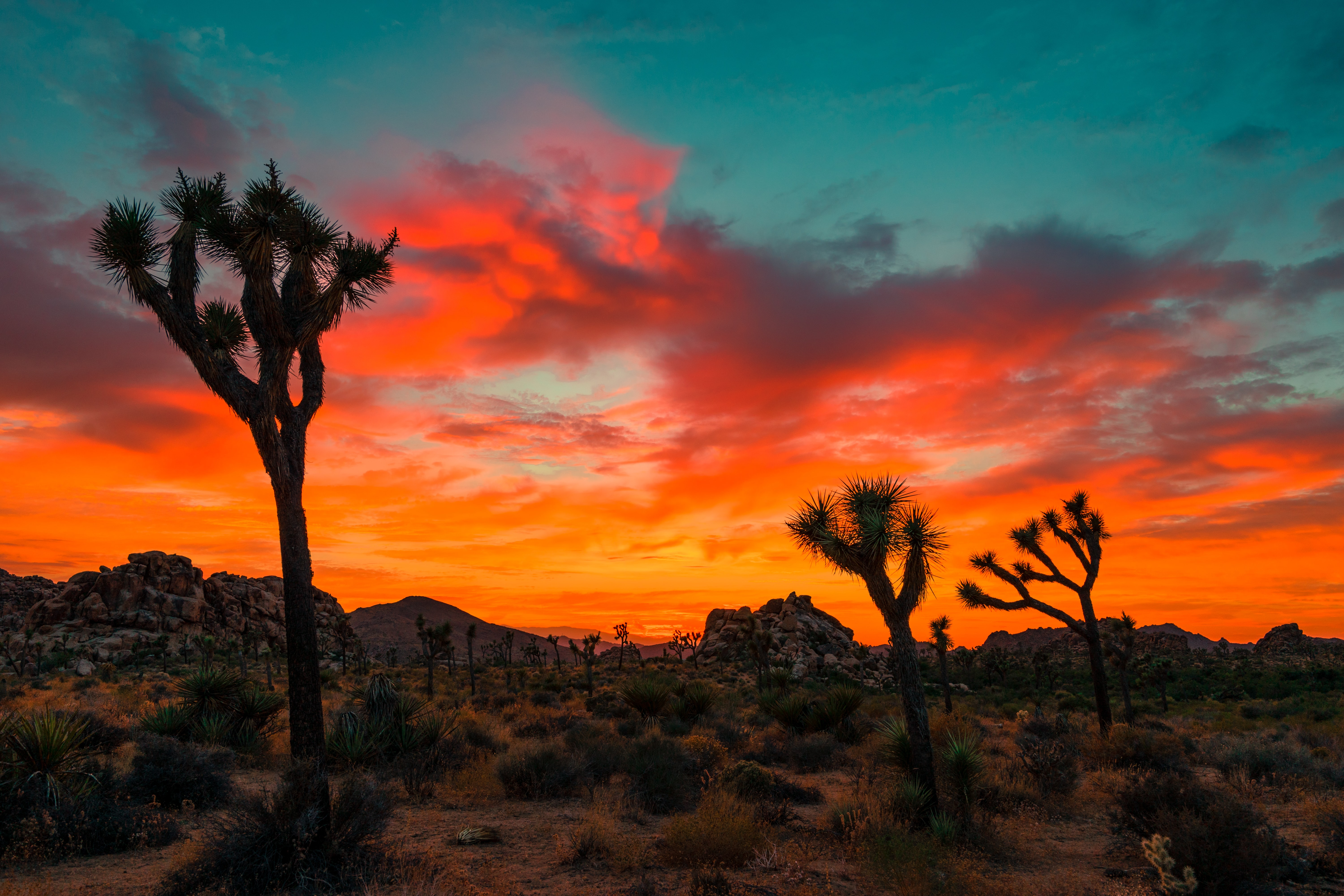 The orange sky over the desert with yucca palm trees in Joshua Tree National Park.