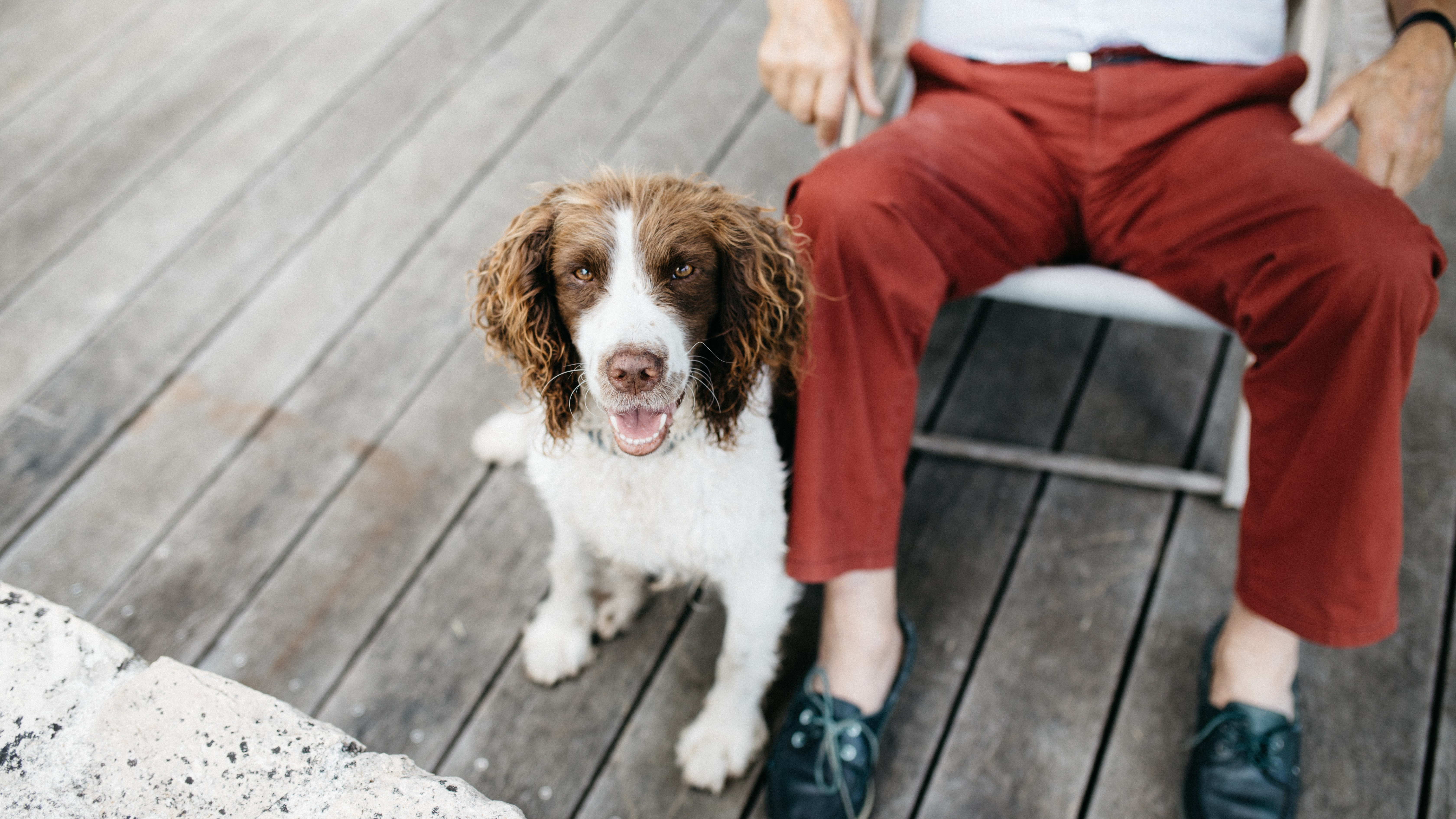 medium-coated white and brown dog beside person wearing red pants