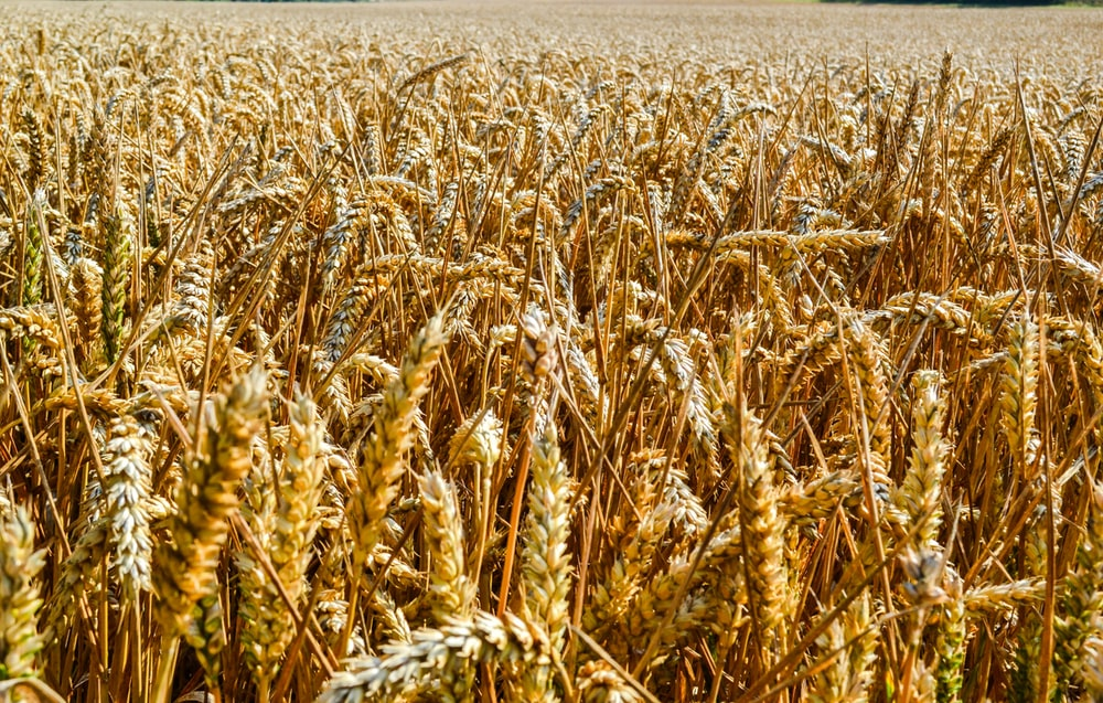 wheat crop pictures download free images on unsplash