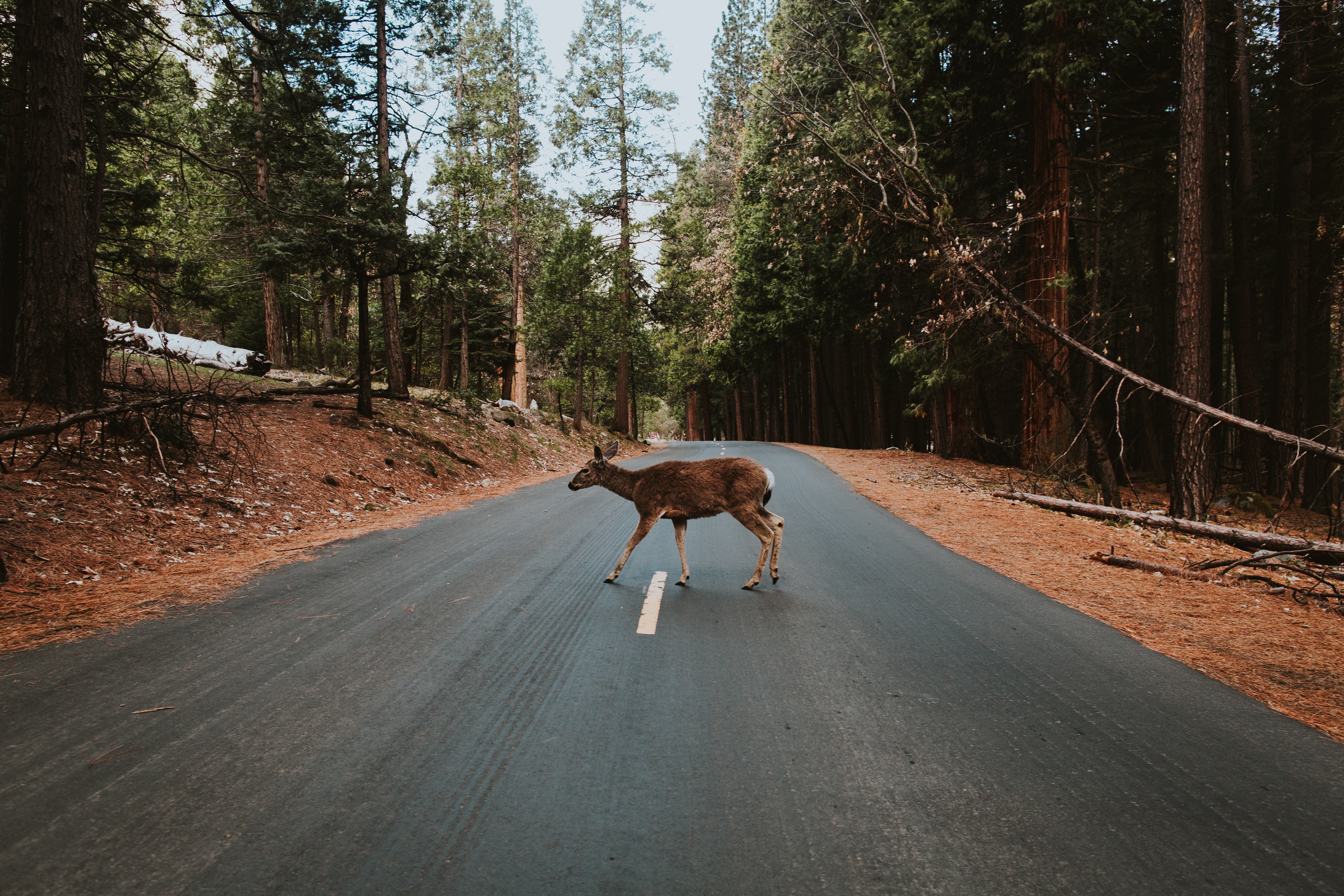 A deer crossing an asphalt road in Yosemite National Park