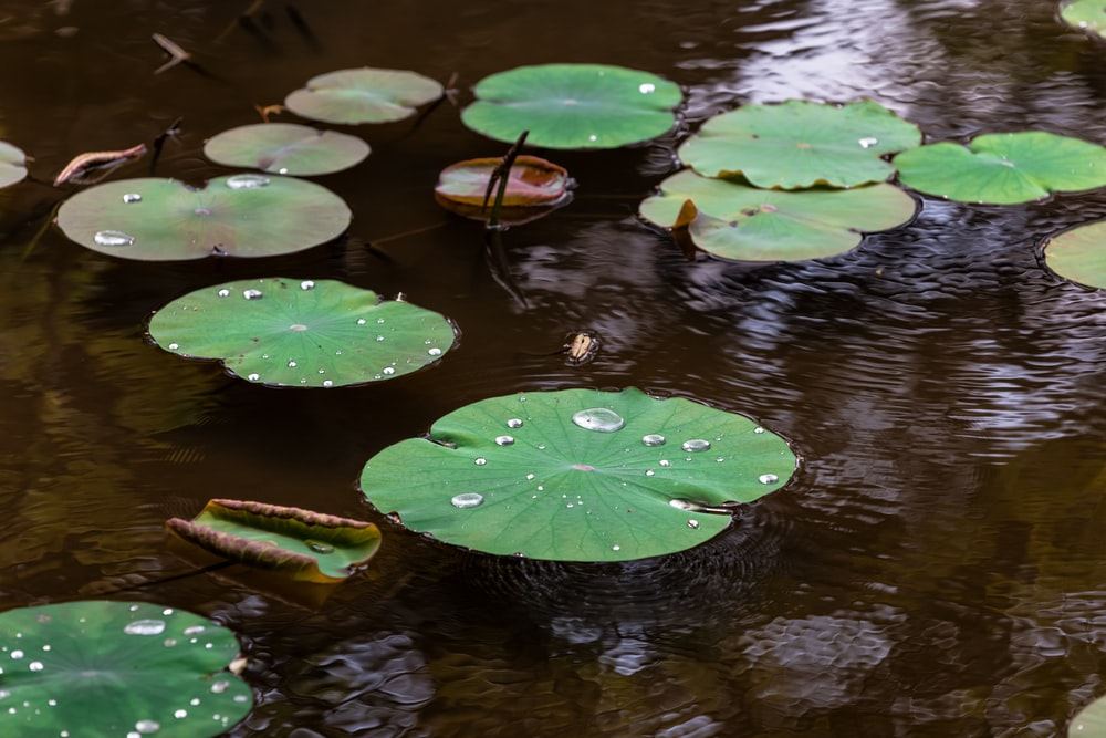 water lilies on body of water