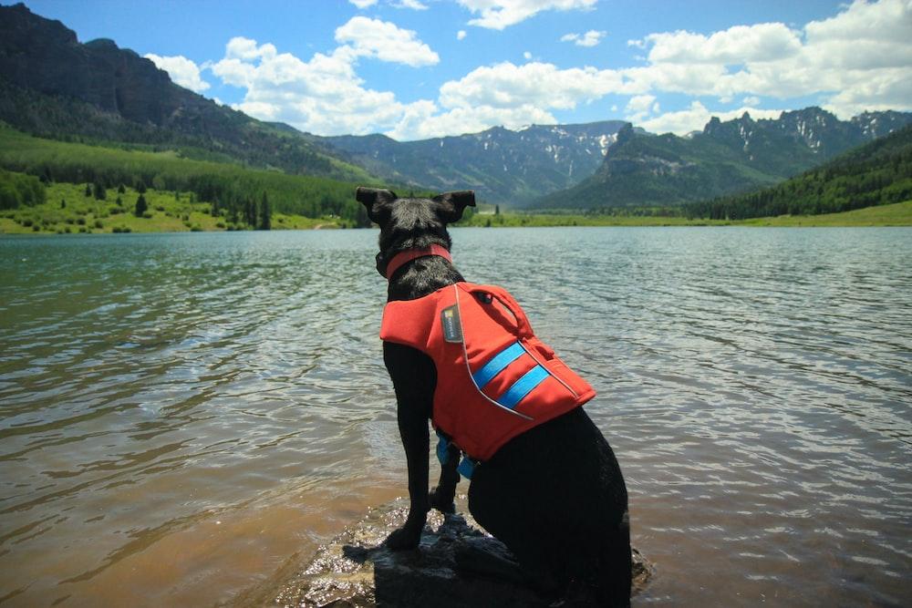 black short coated dog wearing orange life vest on water during daytime