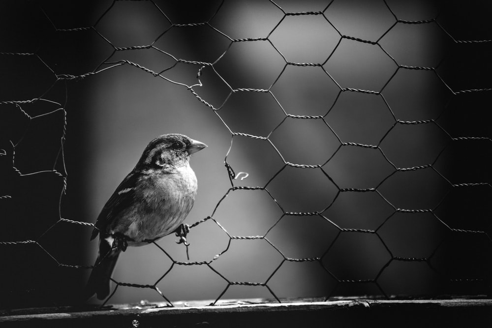 grayscale photo of bird on wire fence