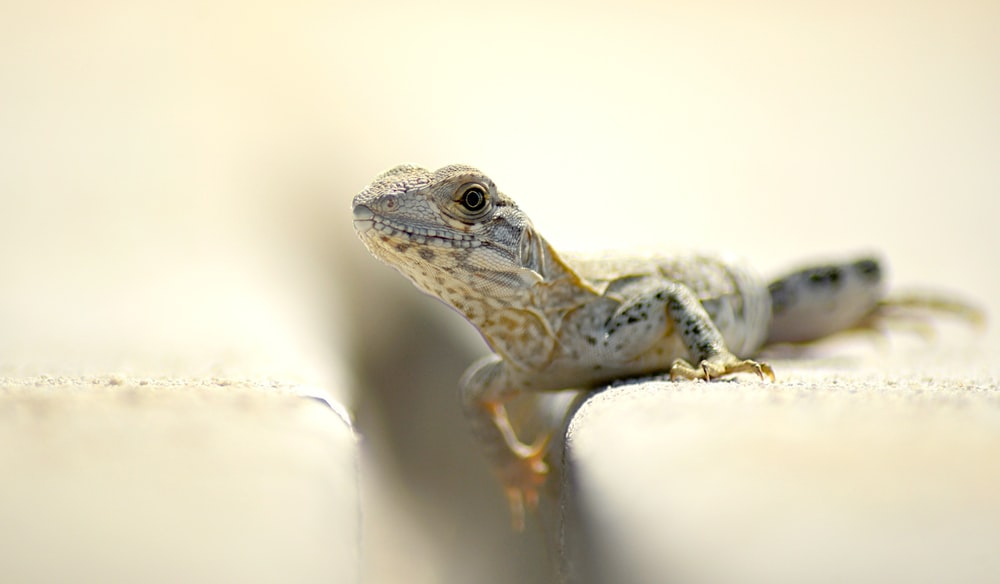 closeup photography of brown and white lizard