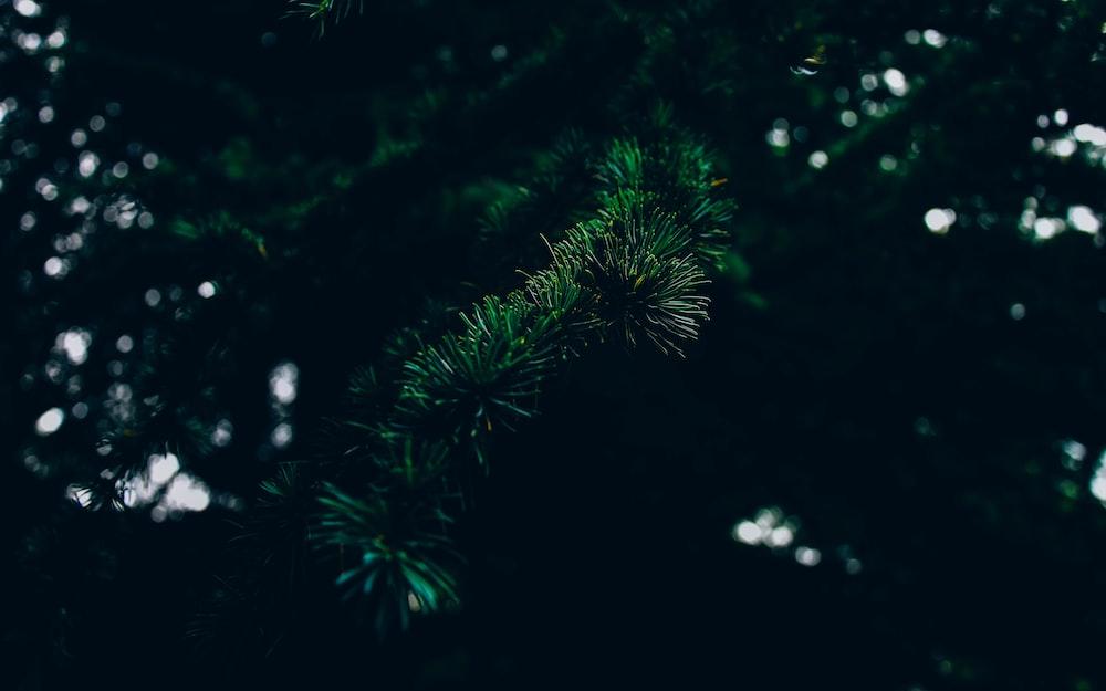 pine leafed tree