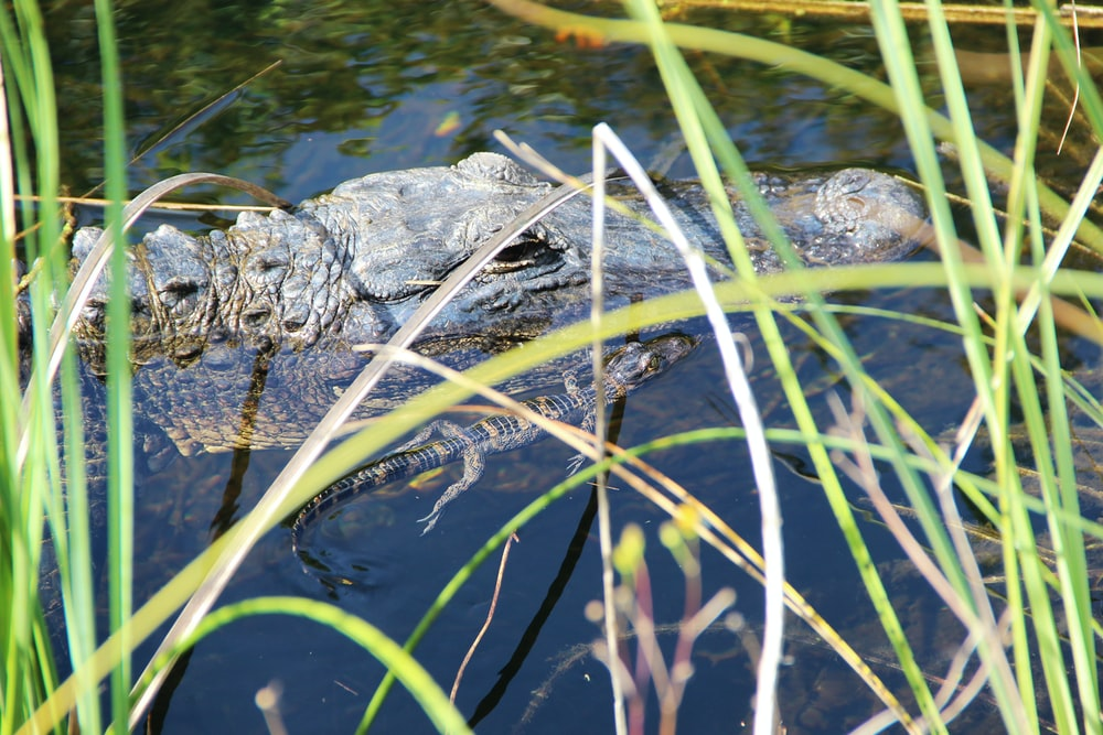 black crocodile near linear leafed plants