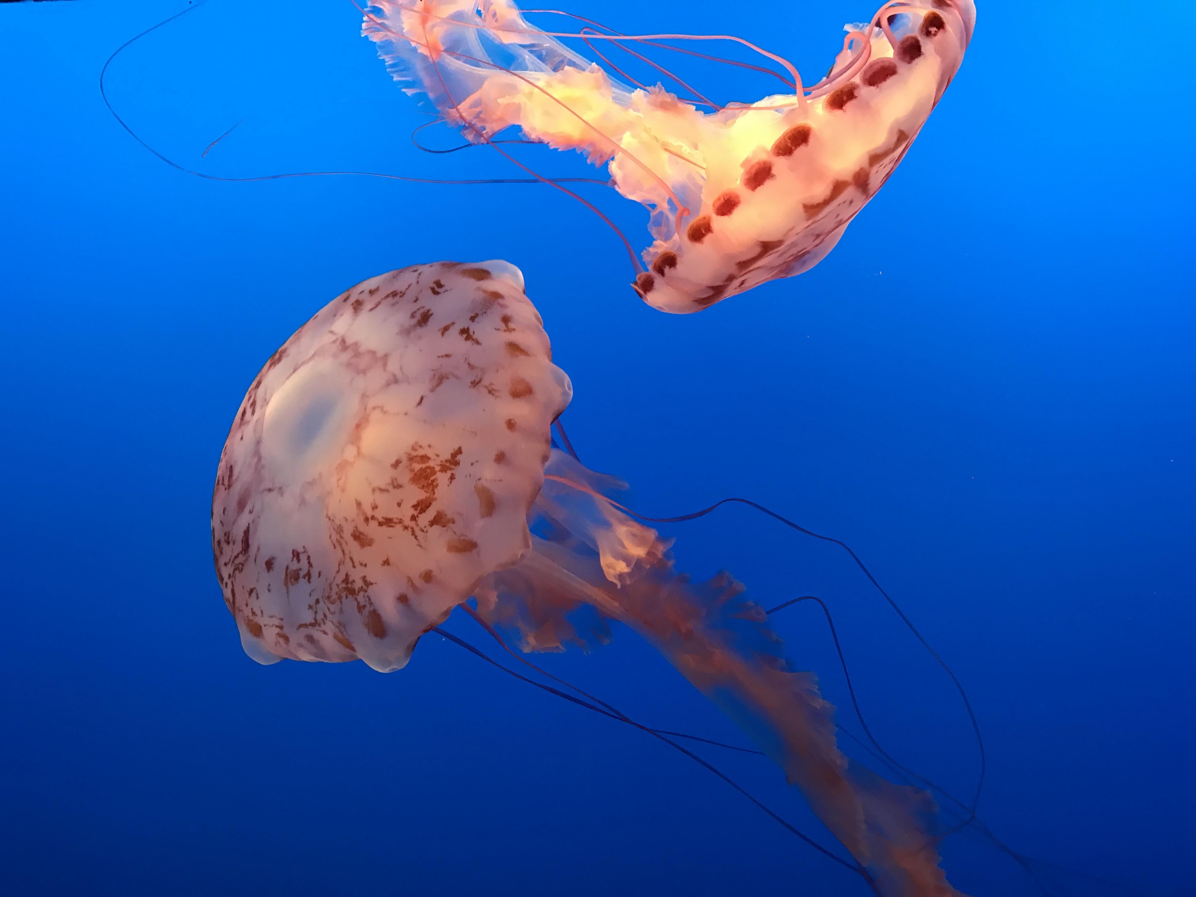 Delicate orange jelly fish swim gracefully in the blue ocean