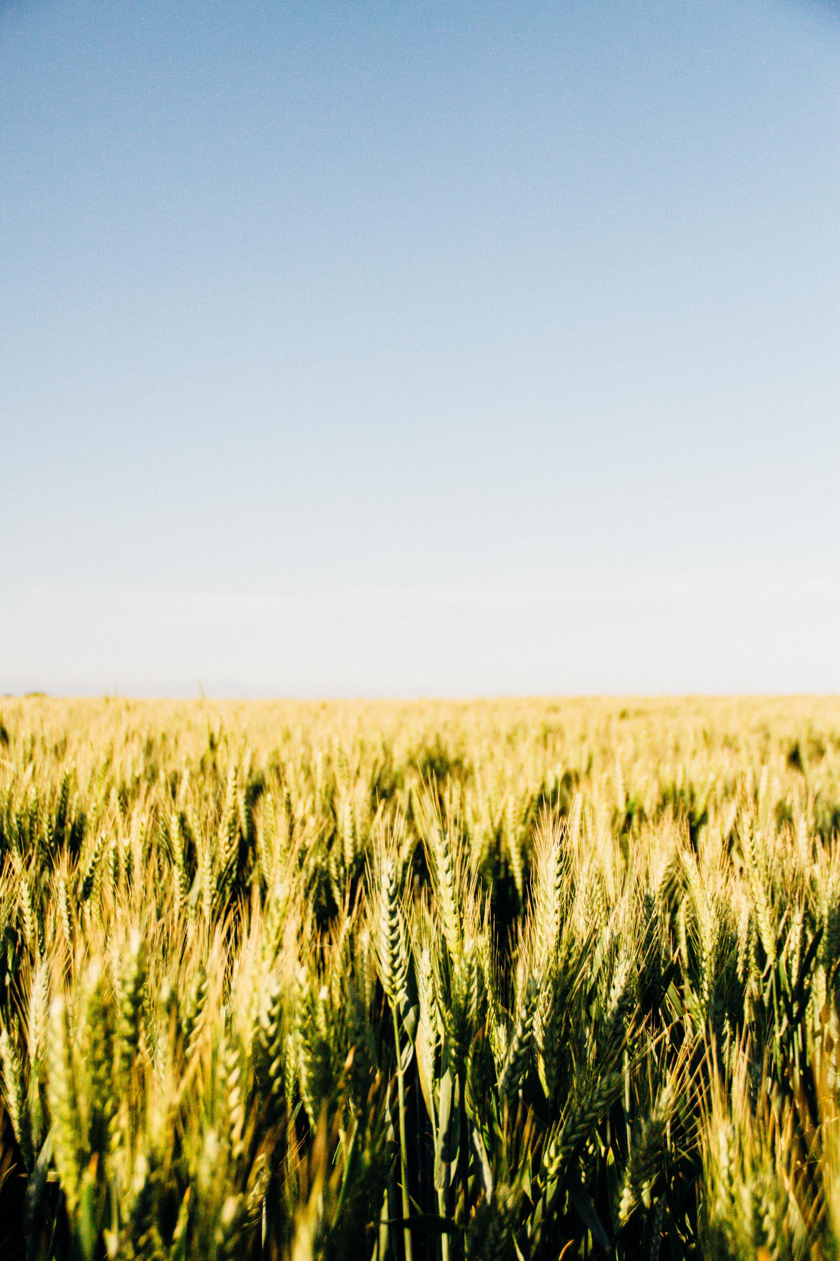 malt field