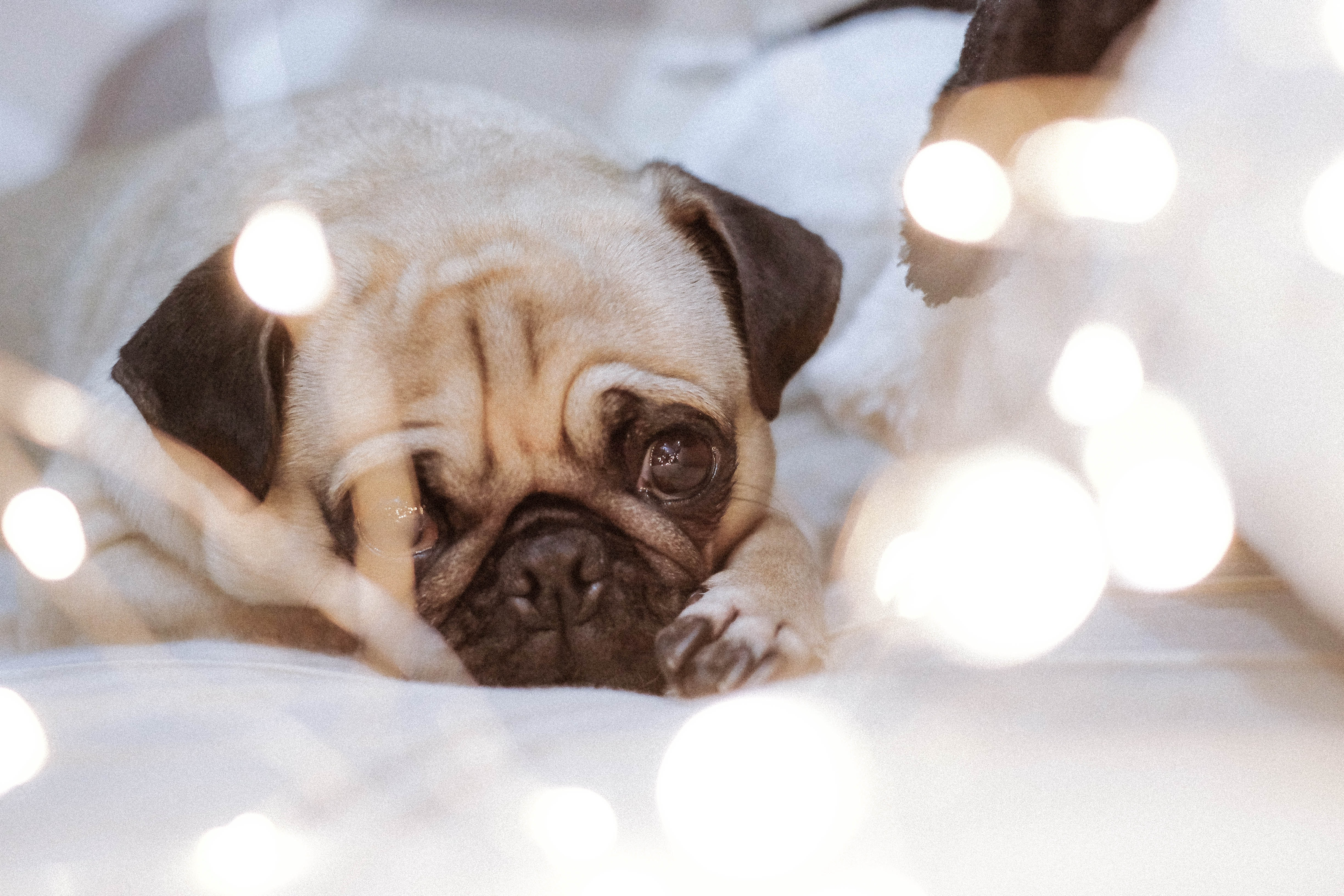 fawn pug lying on white surface