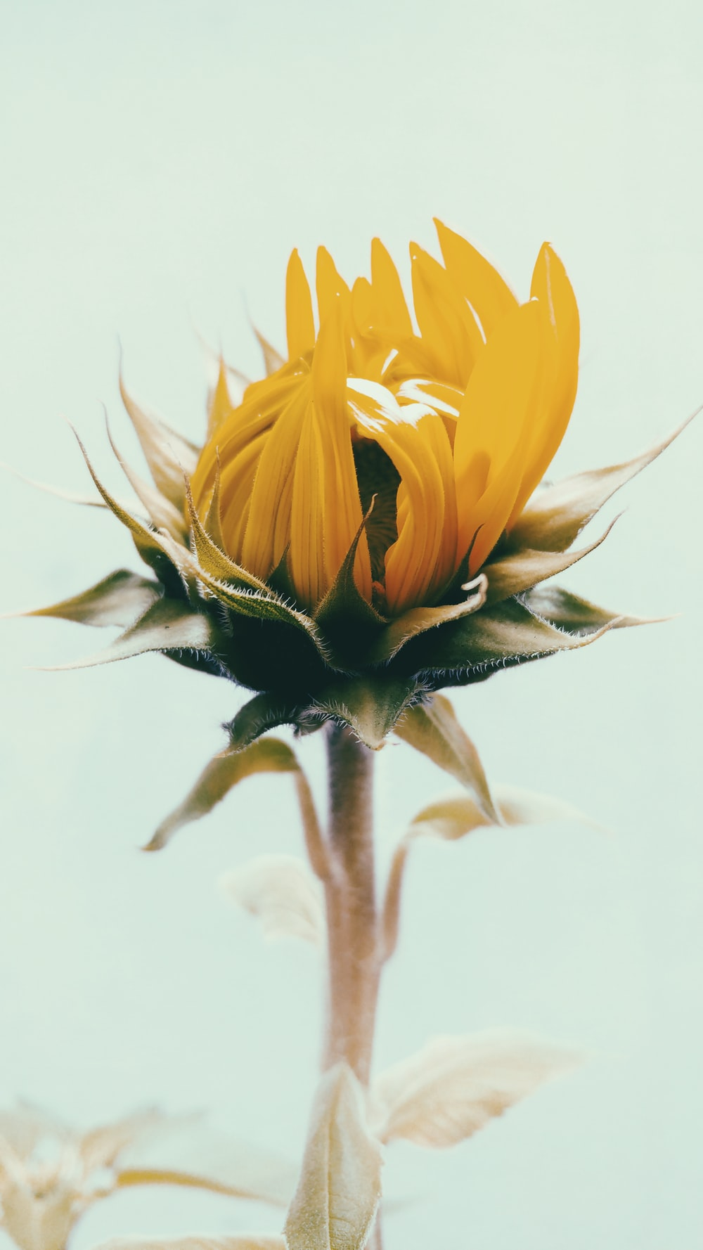 shallow focus photography of yellow sunflower