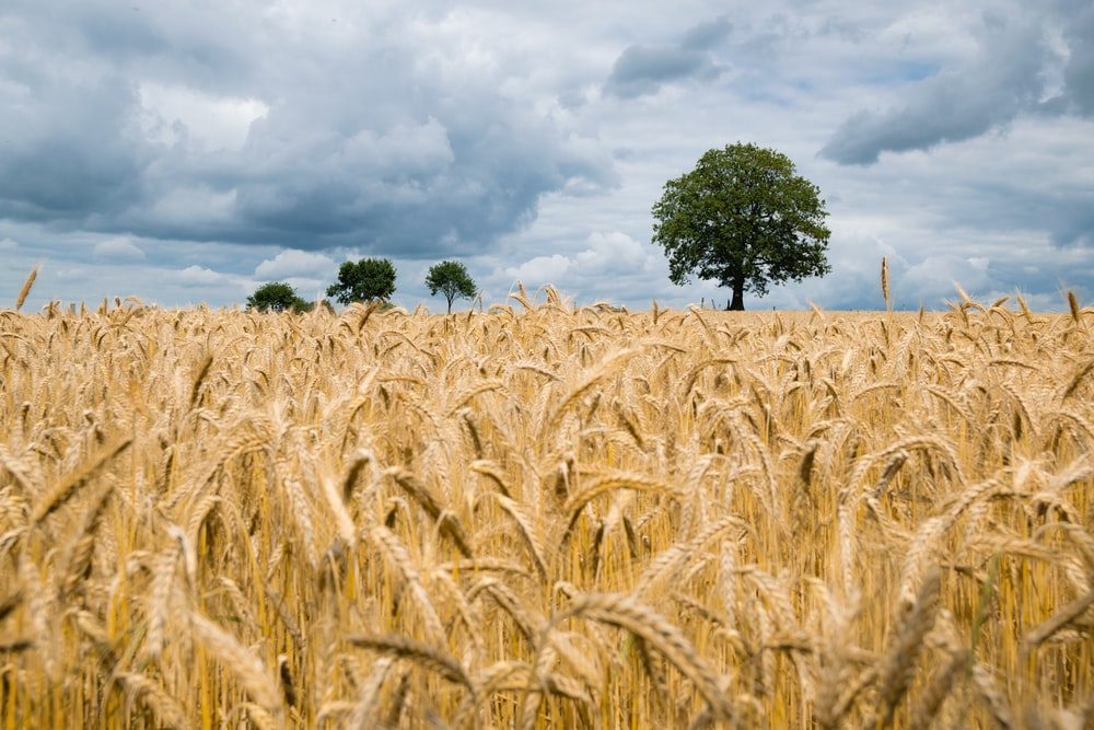 landscape photography of wheat field