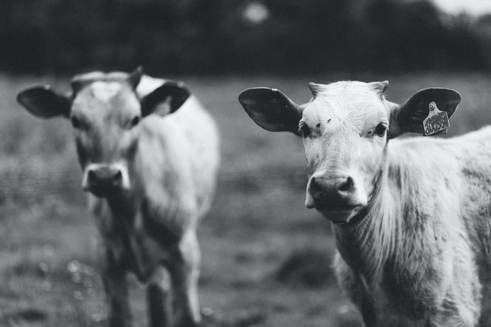 grayscale photography of two cows