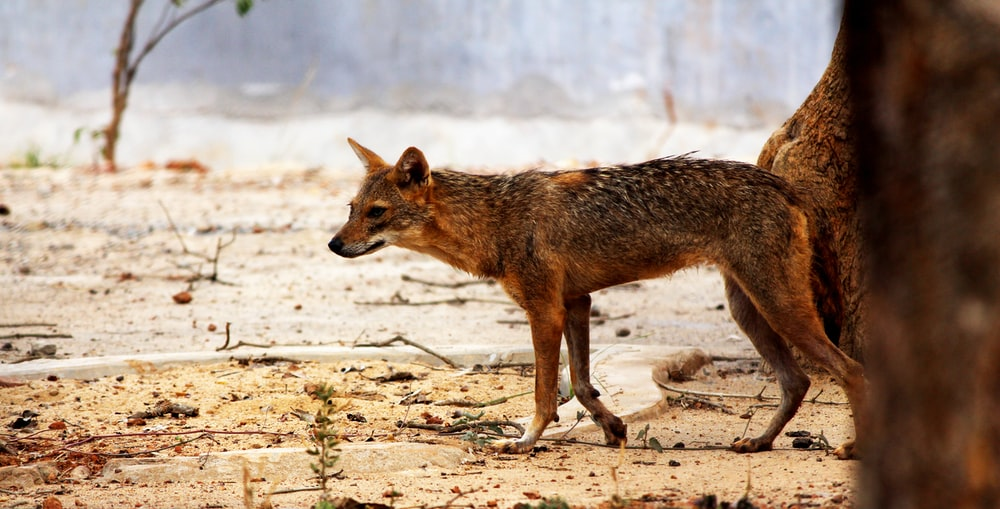 brown hyena on desert selective-focus photography