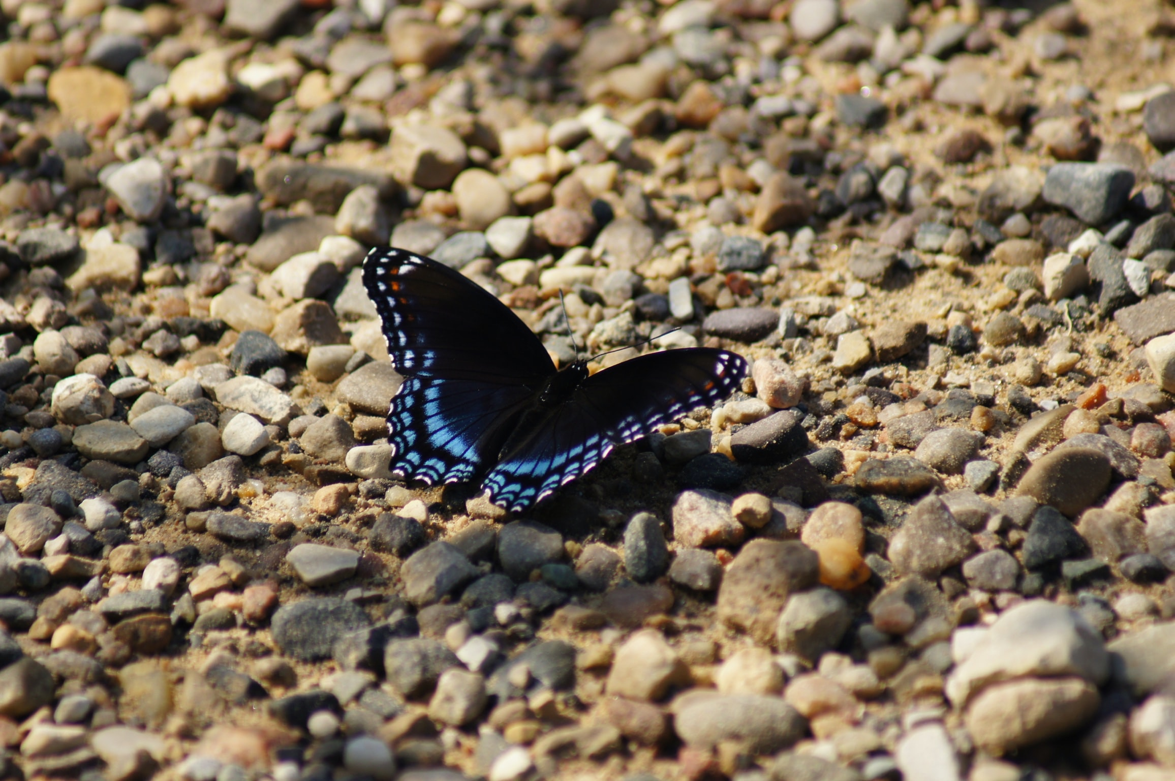 black and blue butterfly on brown rocks