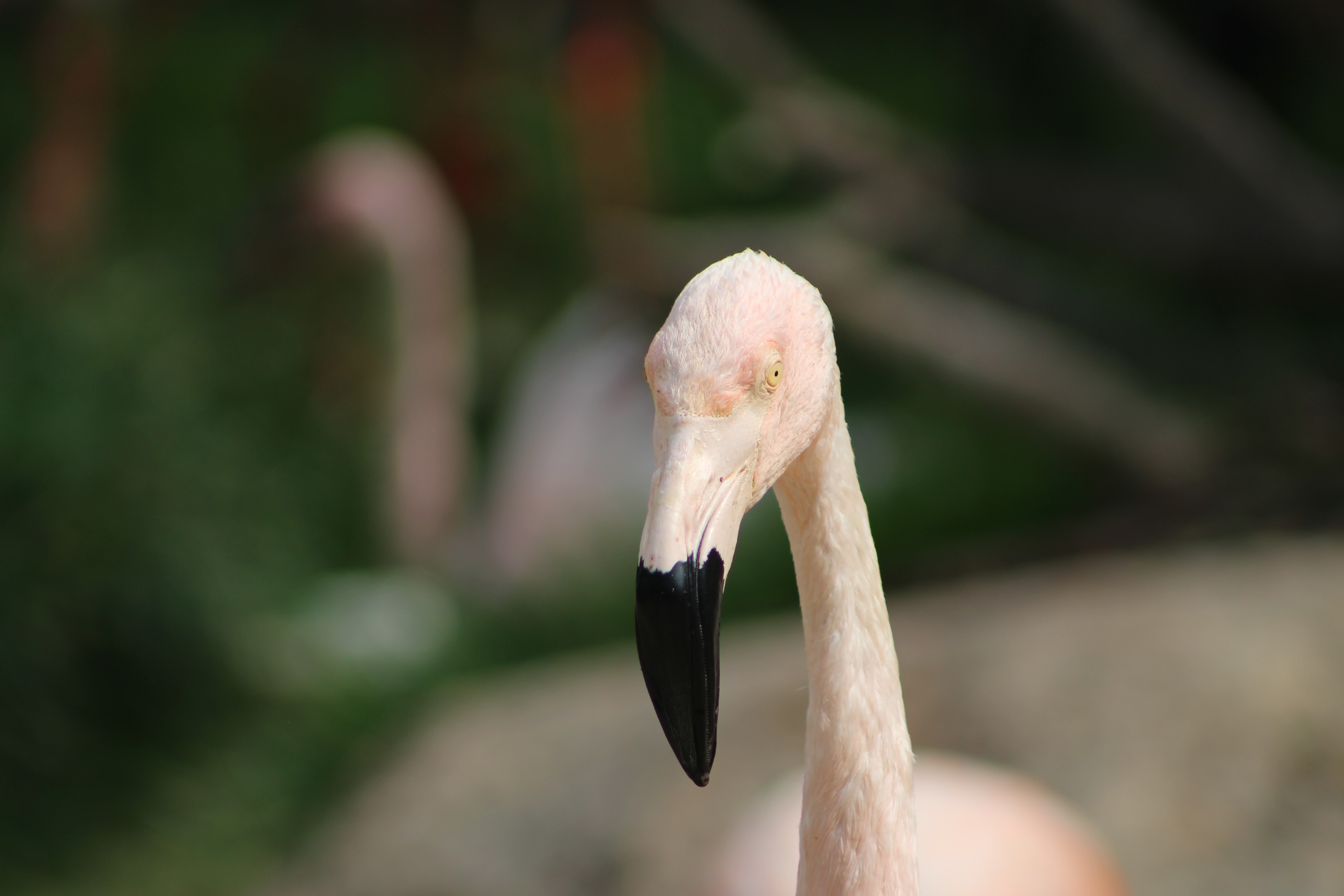 tilt-shift photography of white flamingo
