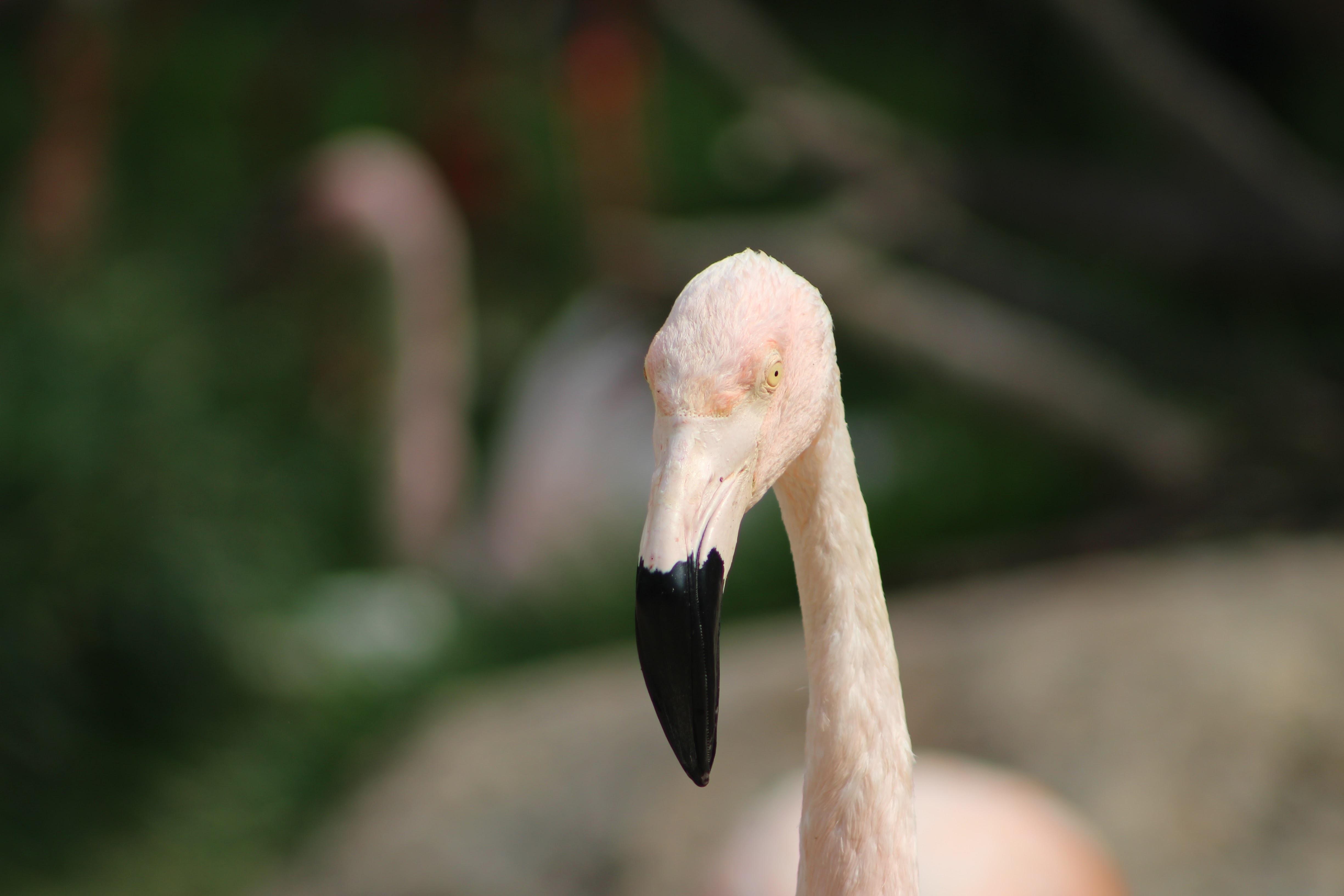 tilt-shift photography of white flamingo