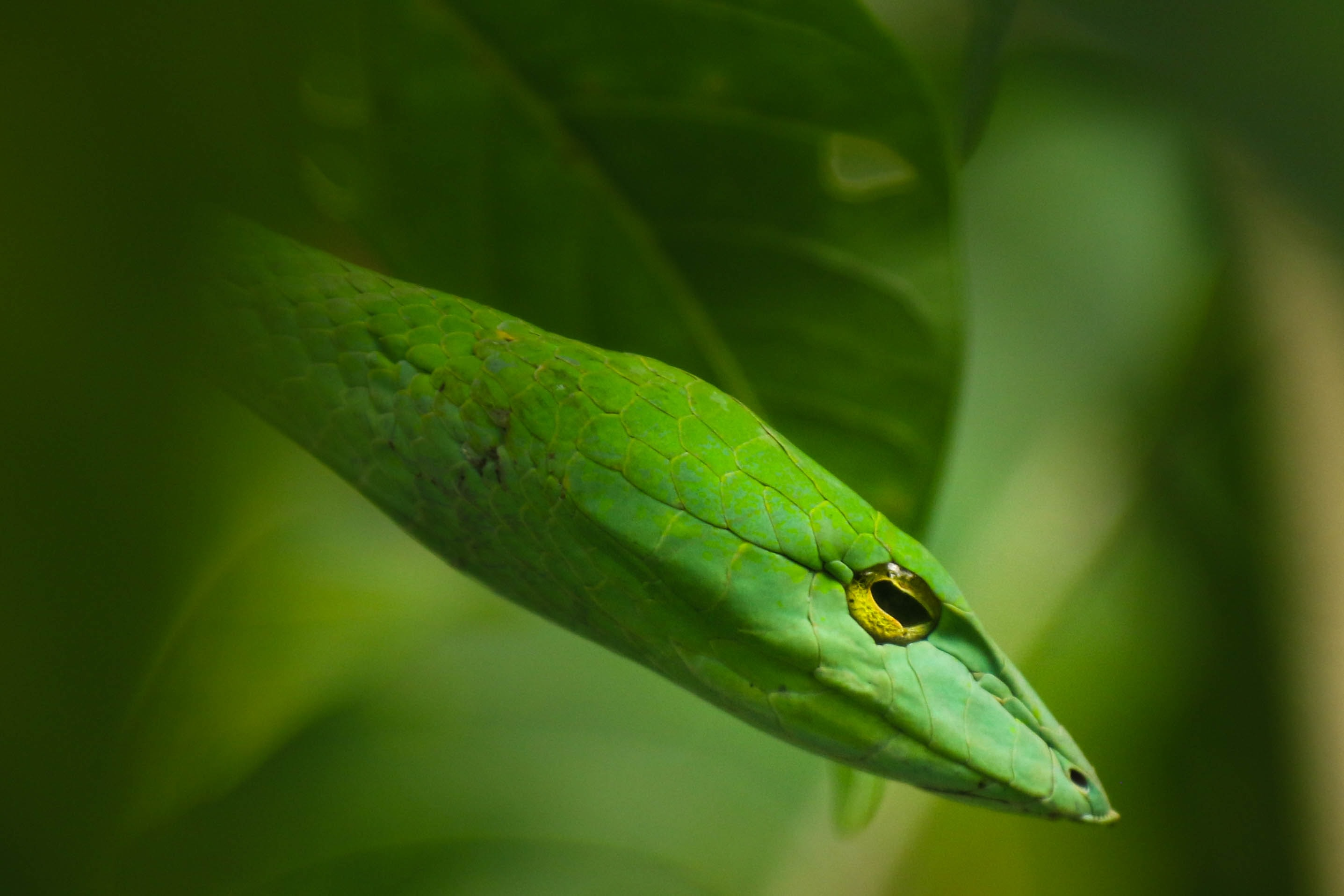 The macro view of a the face of a green snake on a leaf plant