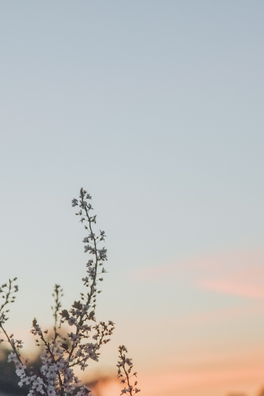 white cherry blossom tree under blue sky at golden hour
